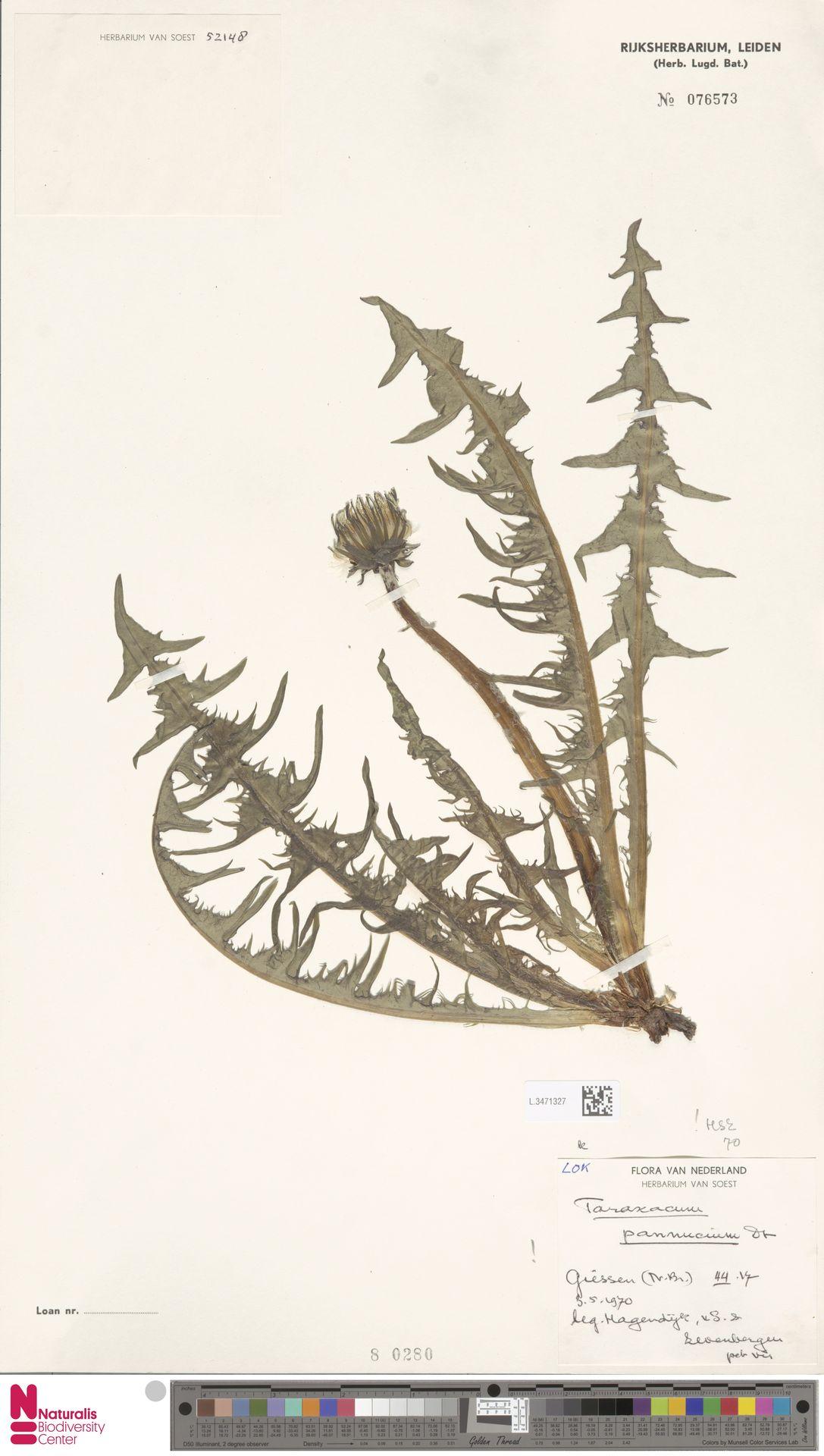 L.3471327 | Taraxacum pannucium Dahlst.