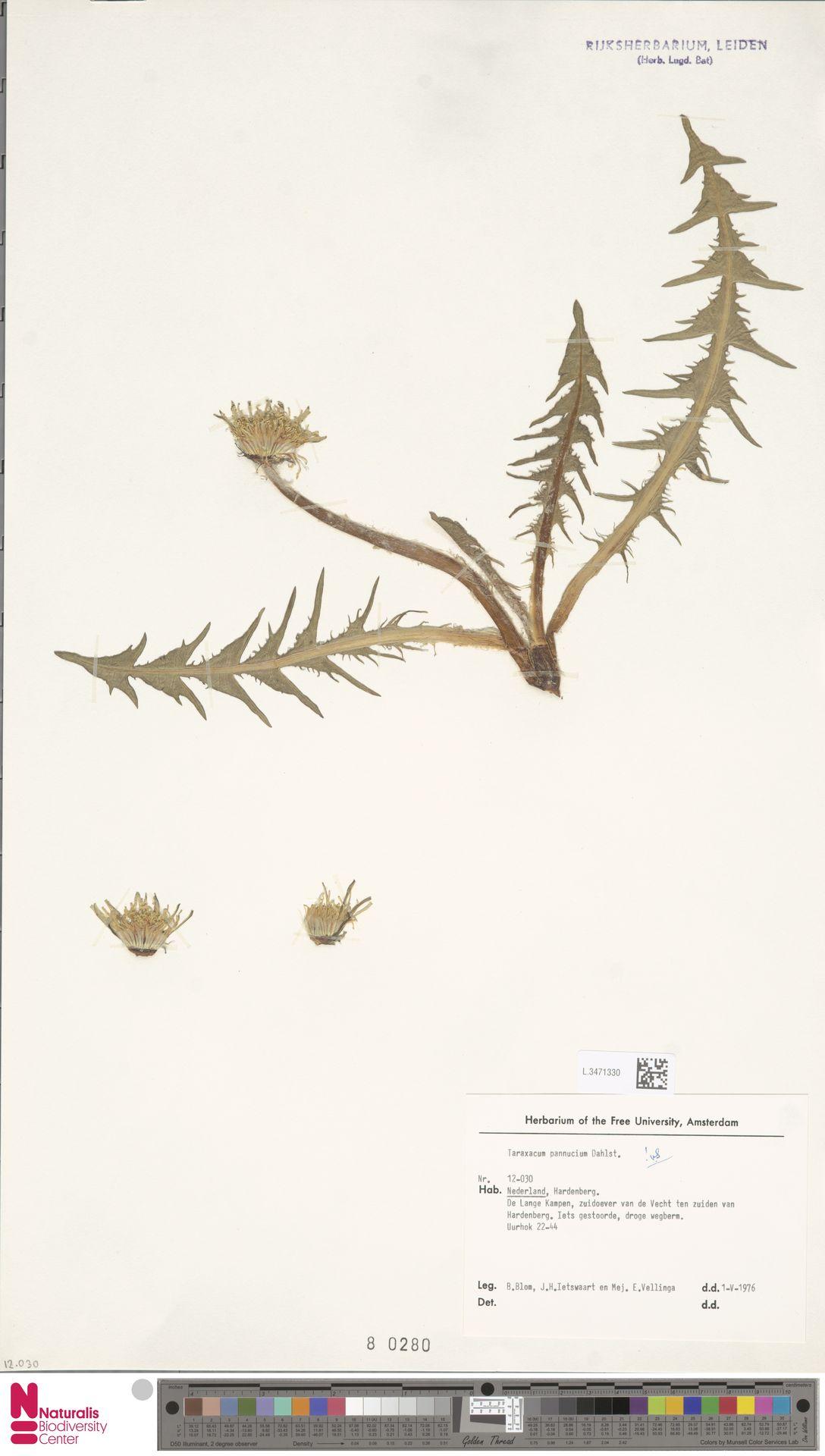 L.3471330   Taraxacum pannucium Dahlst.