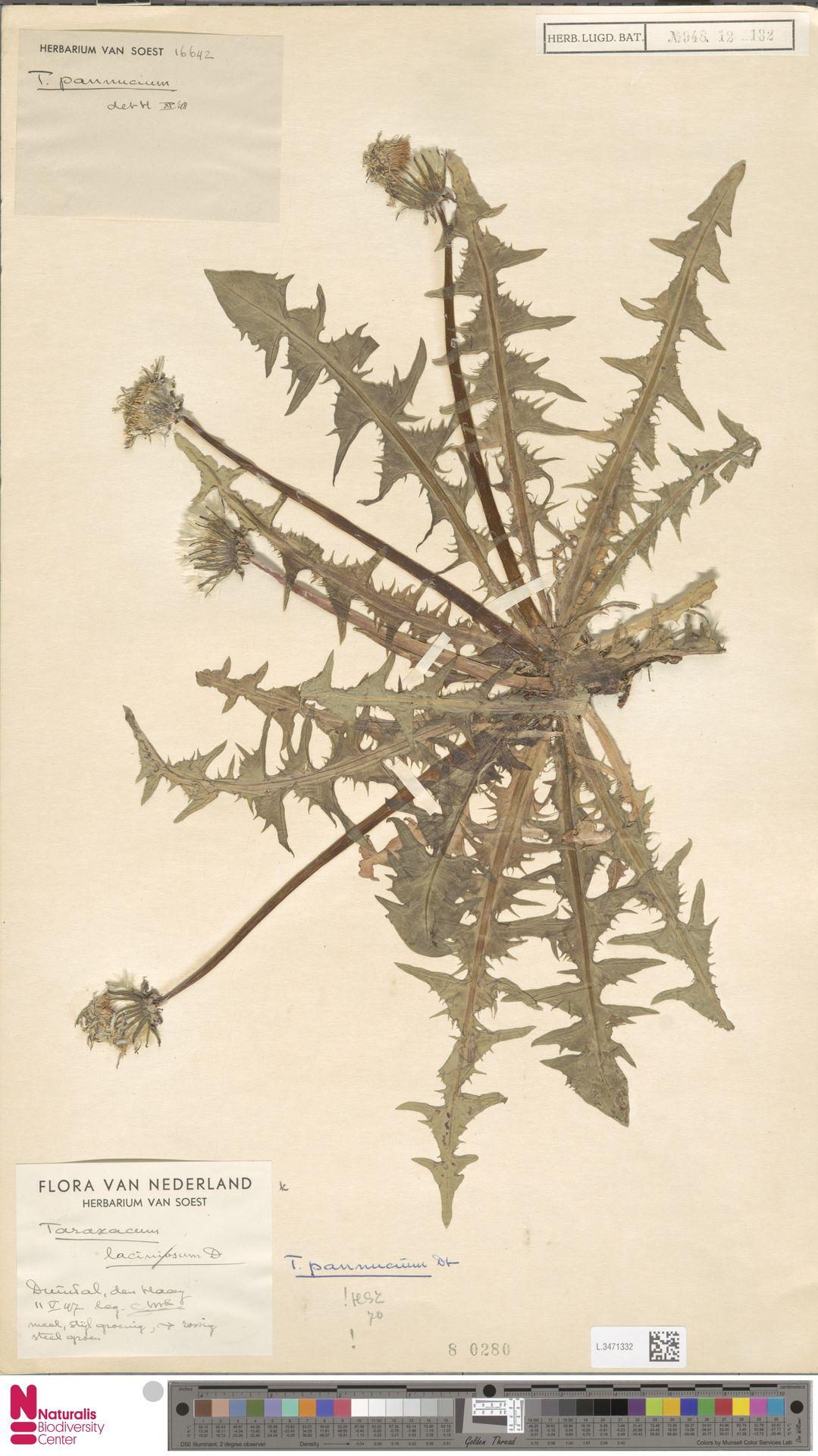 L.3471332 | Taraxacum pannucium Dahlst.