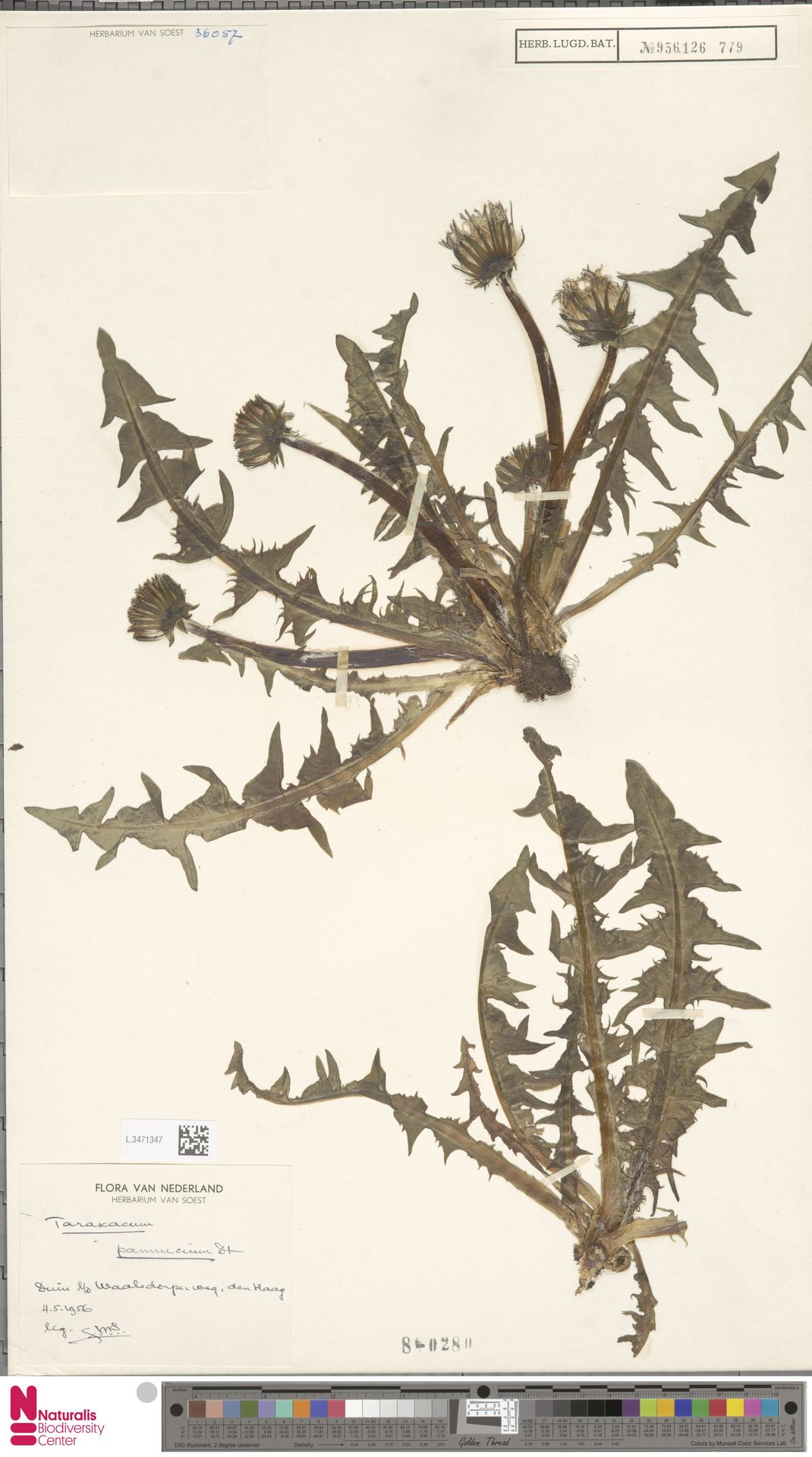 L.3471347   Taraxacum pannucium Dahlst.