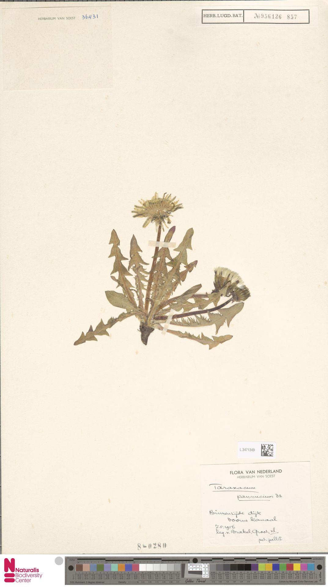 L.3471349 | Taraxacum pannucium Dahlst.