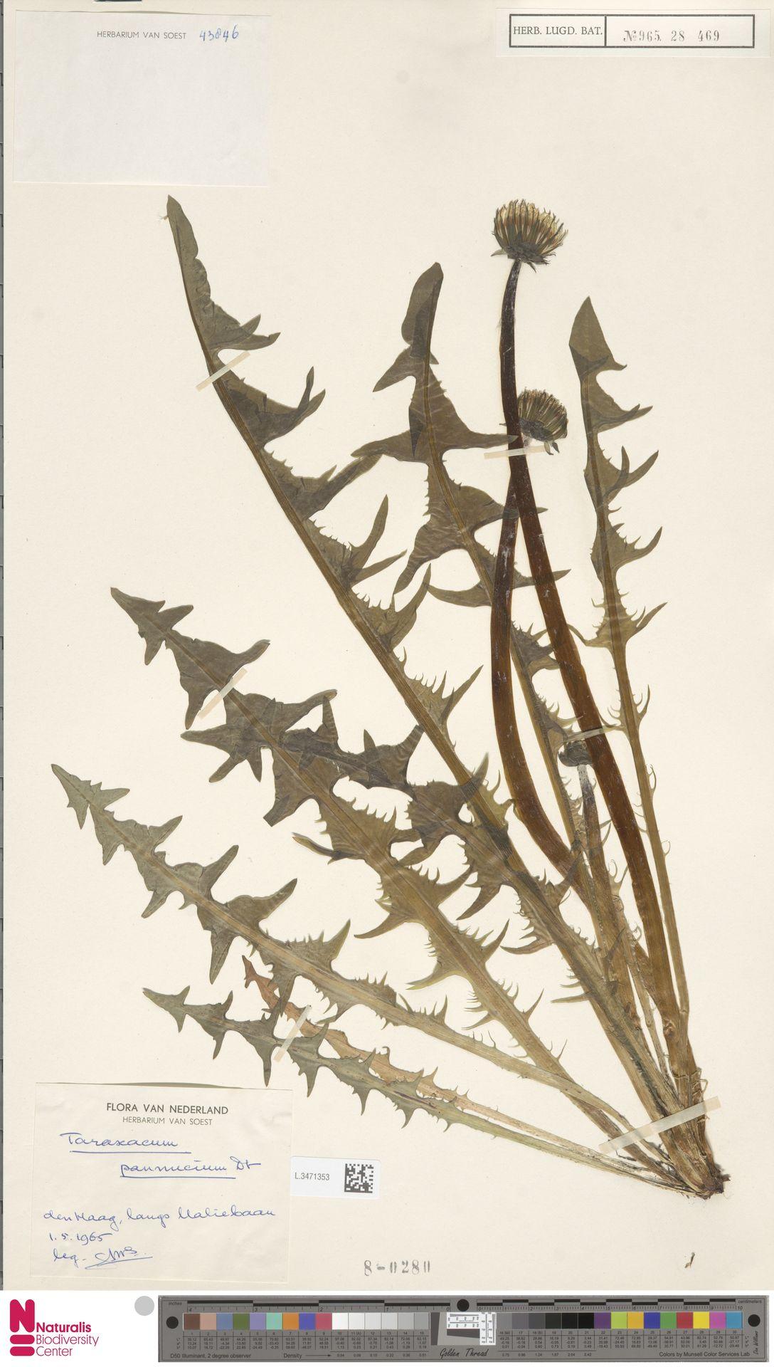 L.3471353 | Taraxacum pannucium Dahlst.