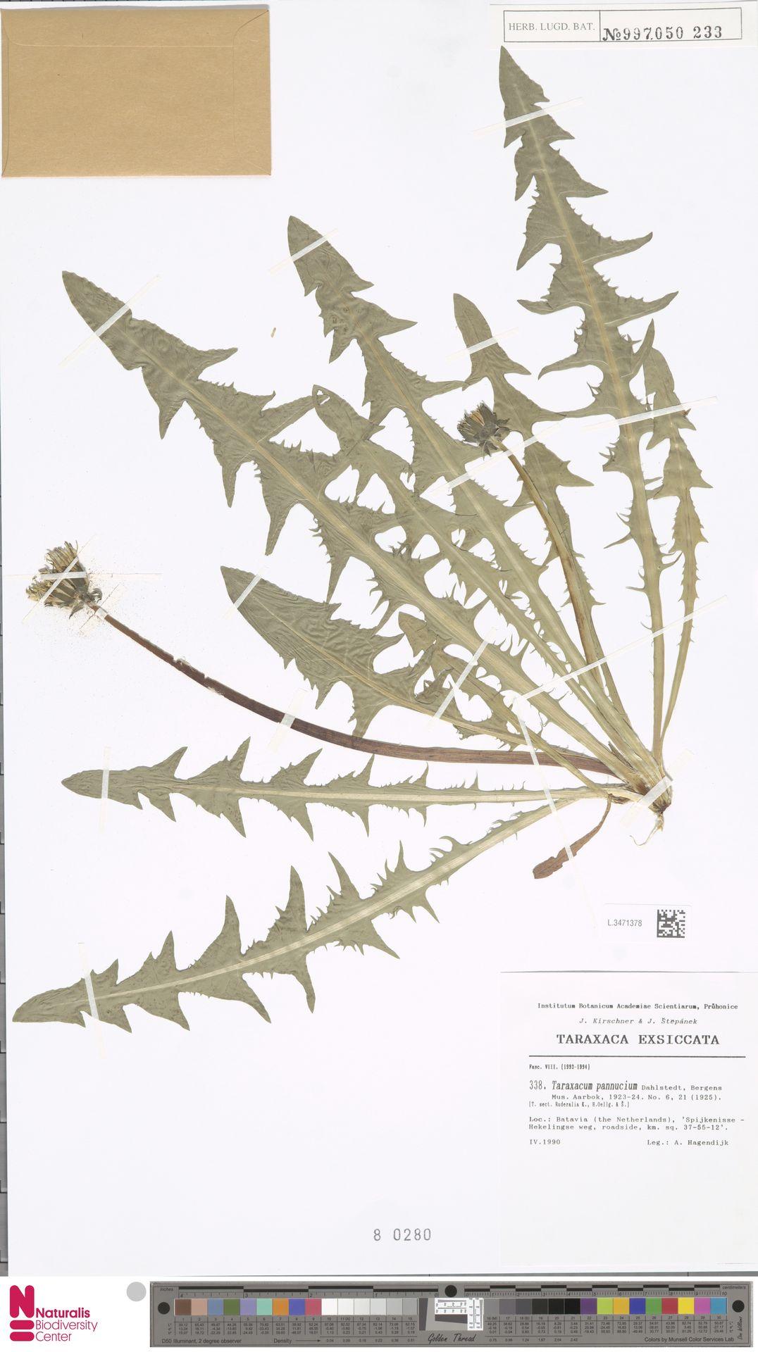 L.3471378   Taraxacum pannucium Dahlst.