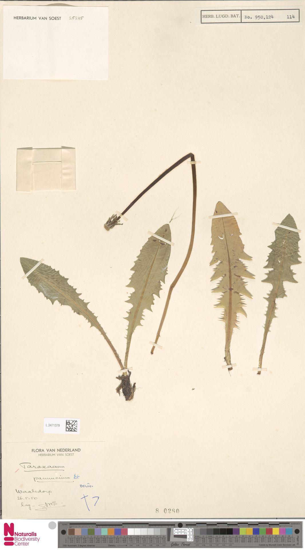 L.3471379 | Taraxacum pannucium Dahlst.