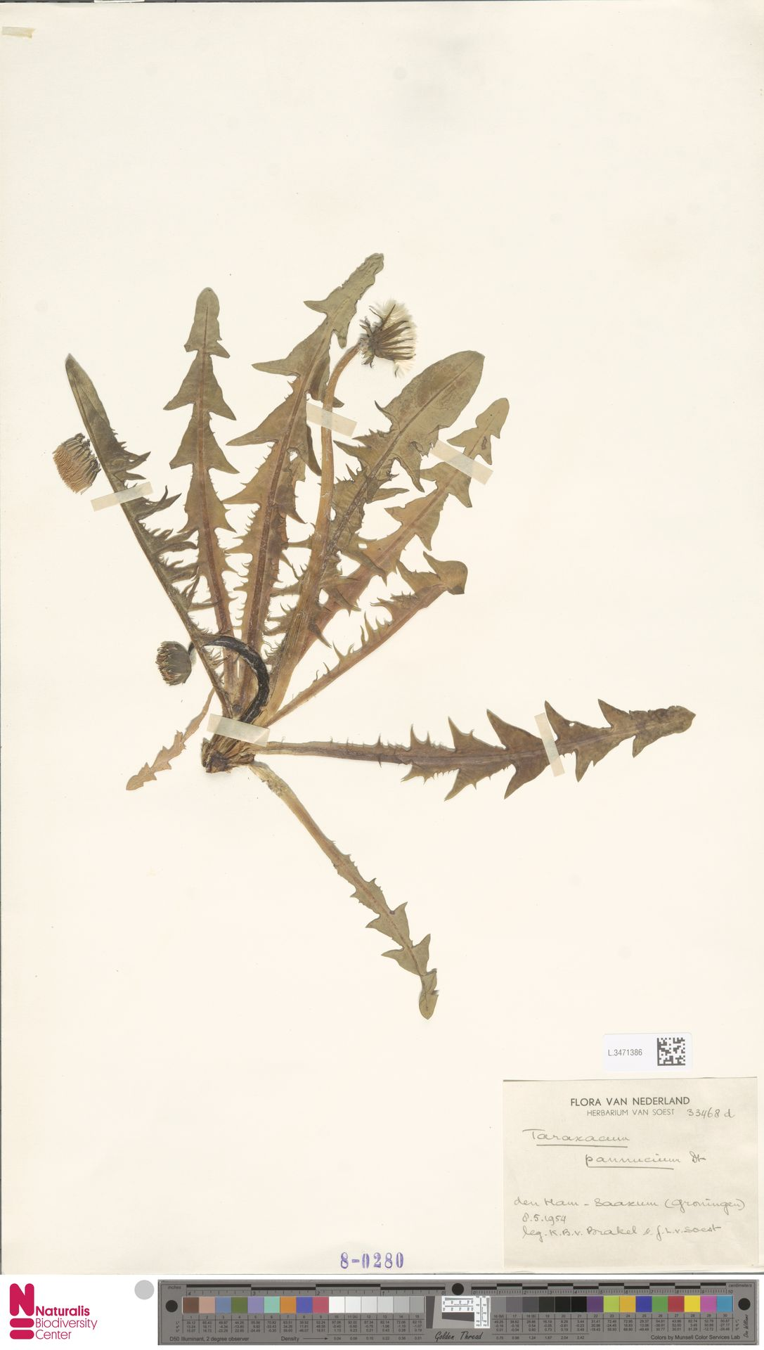 L.3471386 | Taraxacum pannucium Dahlst.