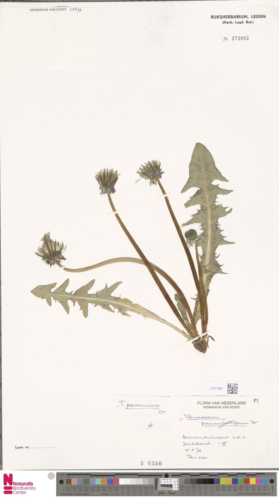 L.3471388   Taraxacum pannucium Dahlst.