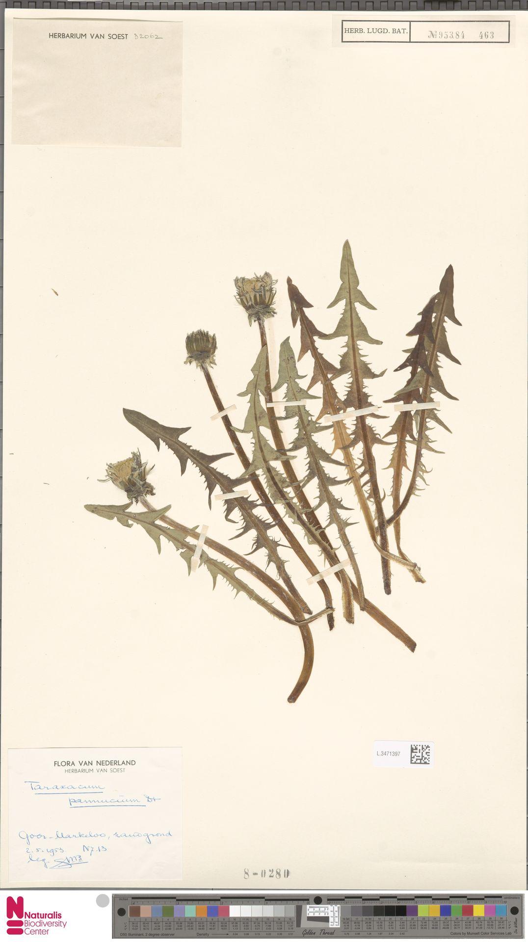L.3471397   Taraxacum pannucium Dahlst.