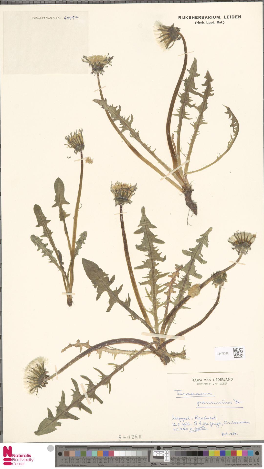 L.3471399   Taraxacum pannucium Dahlst.