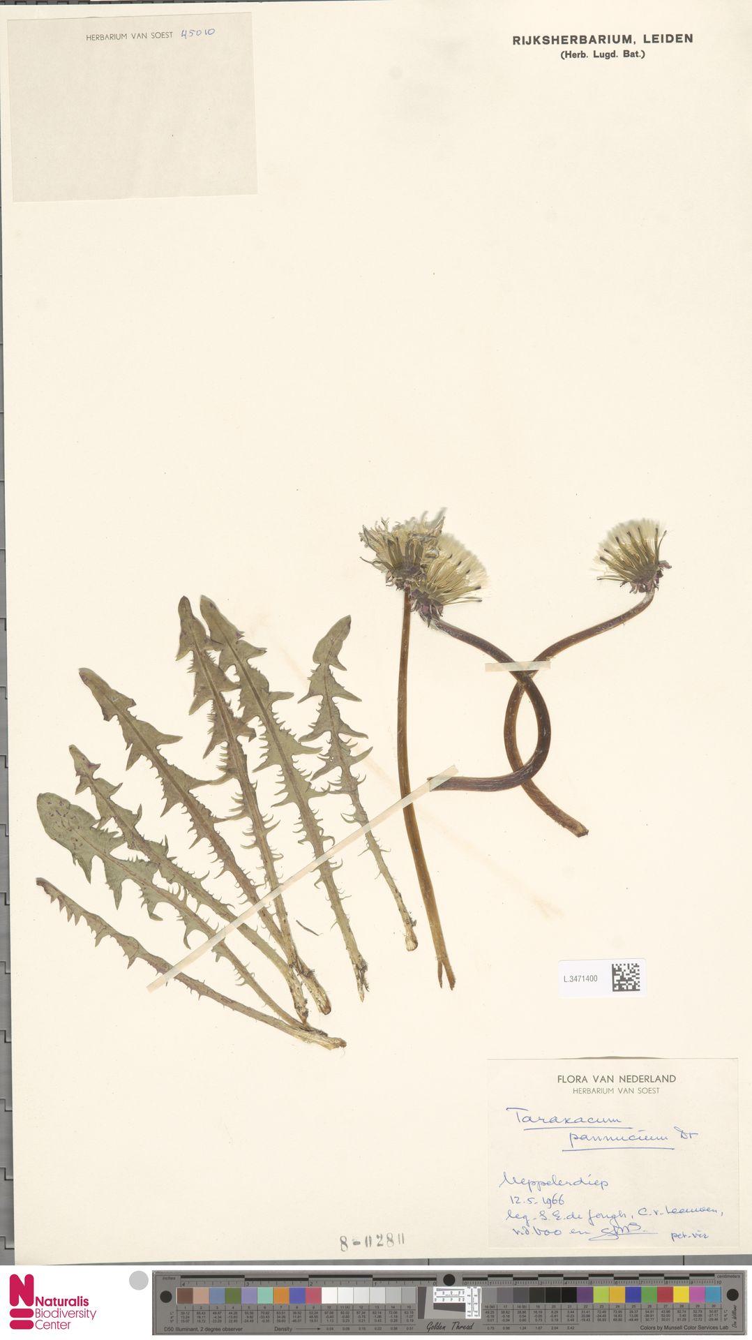 L.3471400 | Taraxacum pannucium Dahlst.