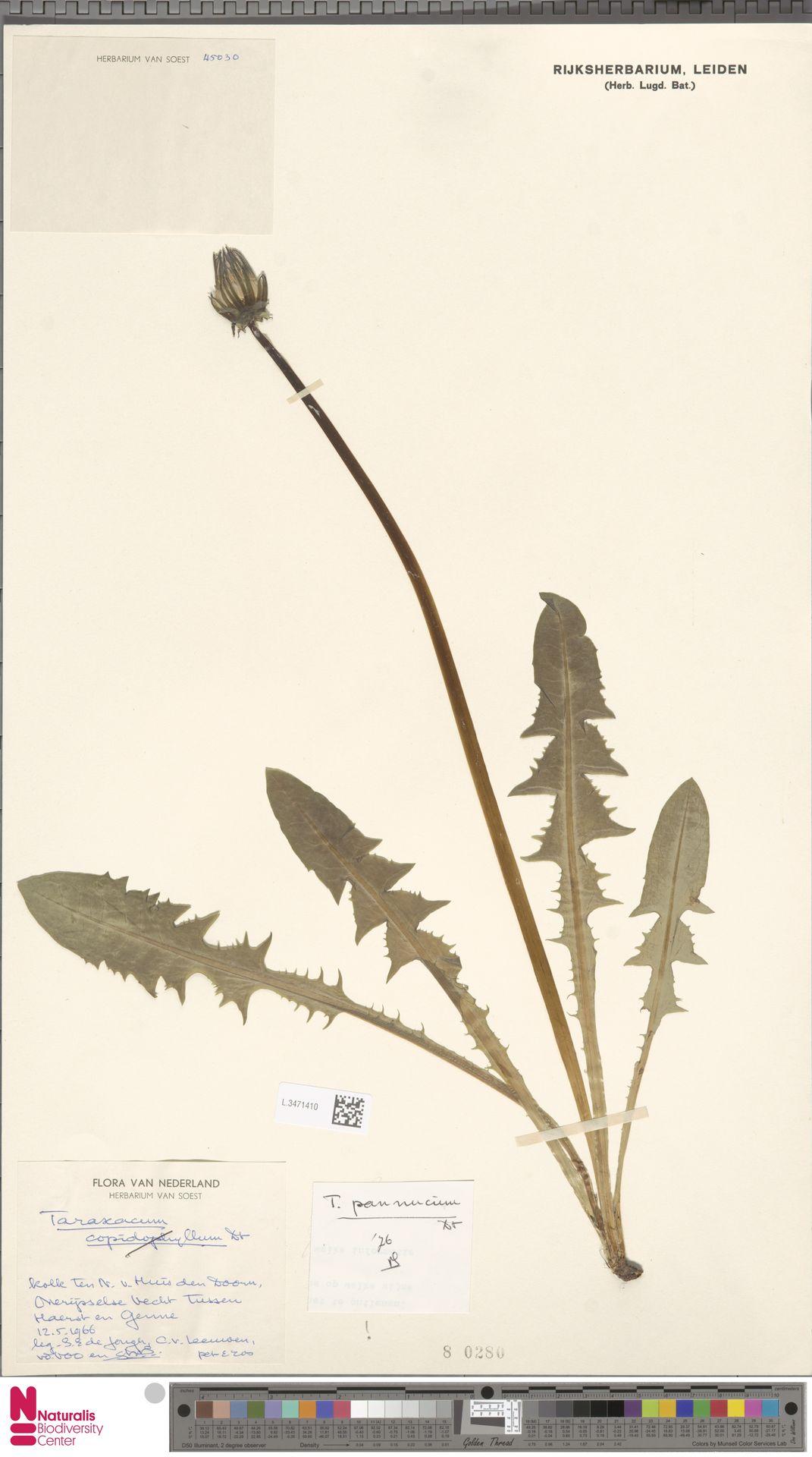 L.3471410 | Taraxacum pannucium Dahlst.