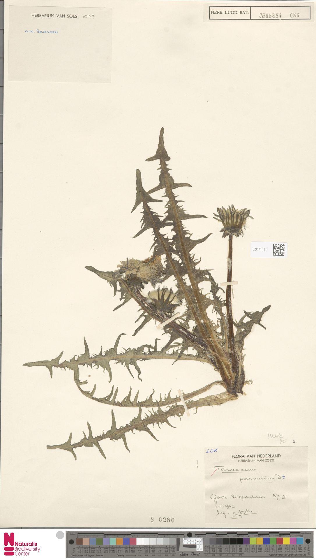 L.3471411 | Taraxacum pannucium Dahlst.
