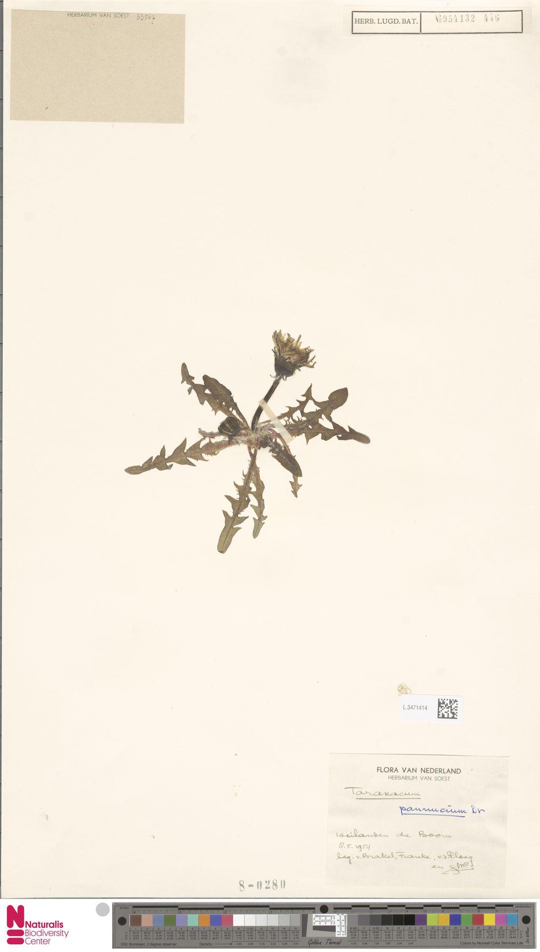L.3471414 | Taraxacum pannucium Dahlst.