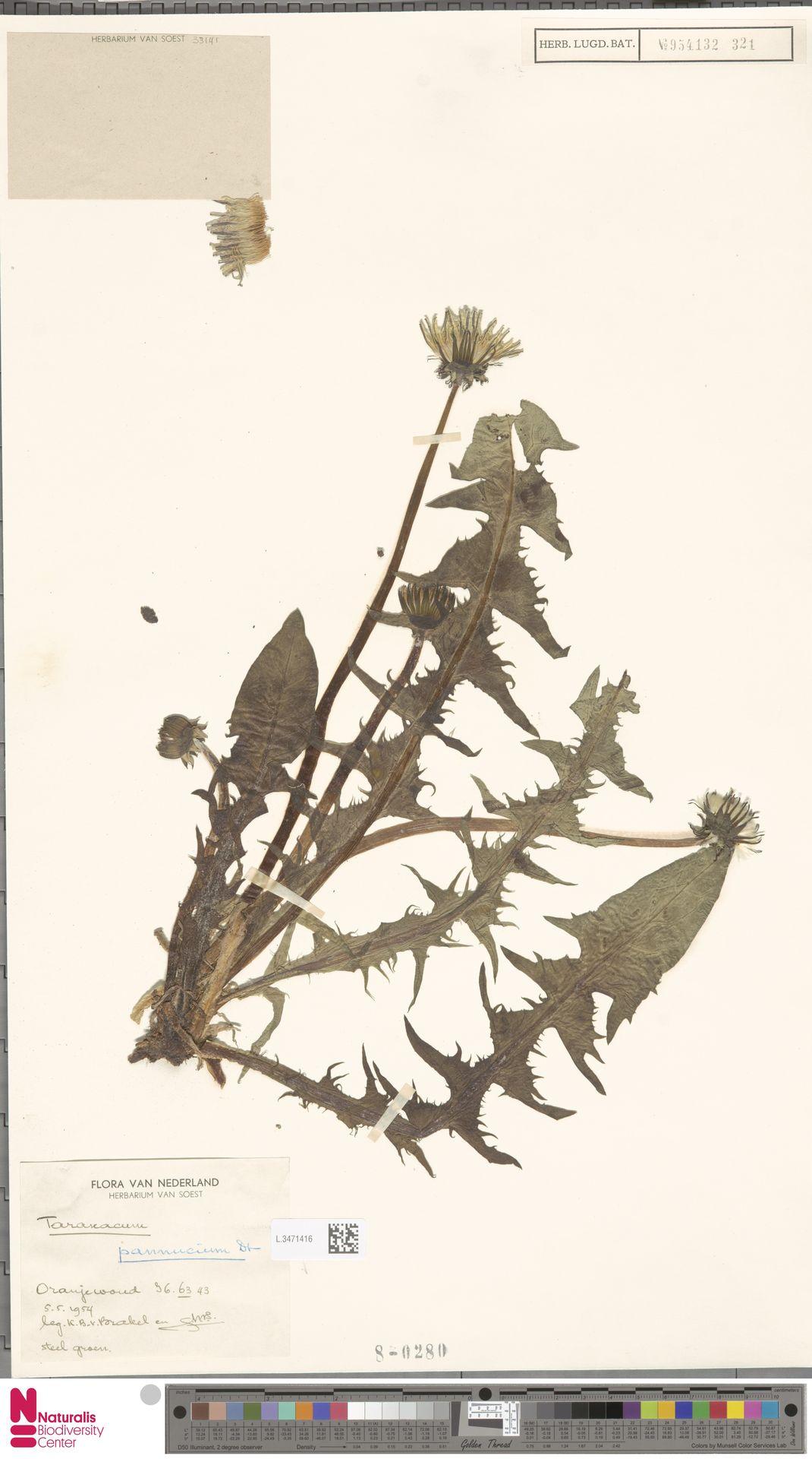L.3471416   Taraxacum pannucium Dahlst.