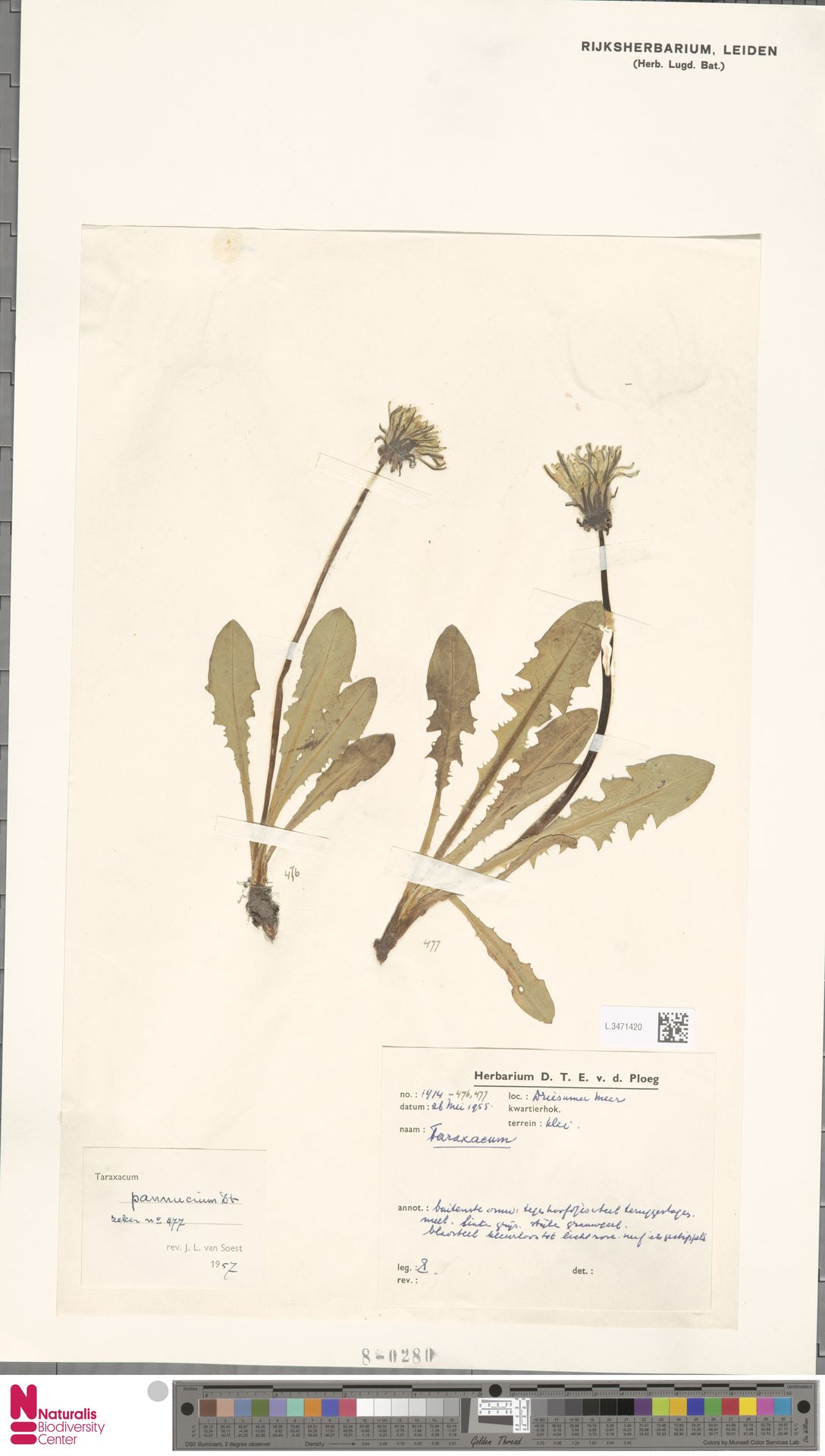 L.3471420 | Taraxacum pannucium Dahlst.