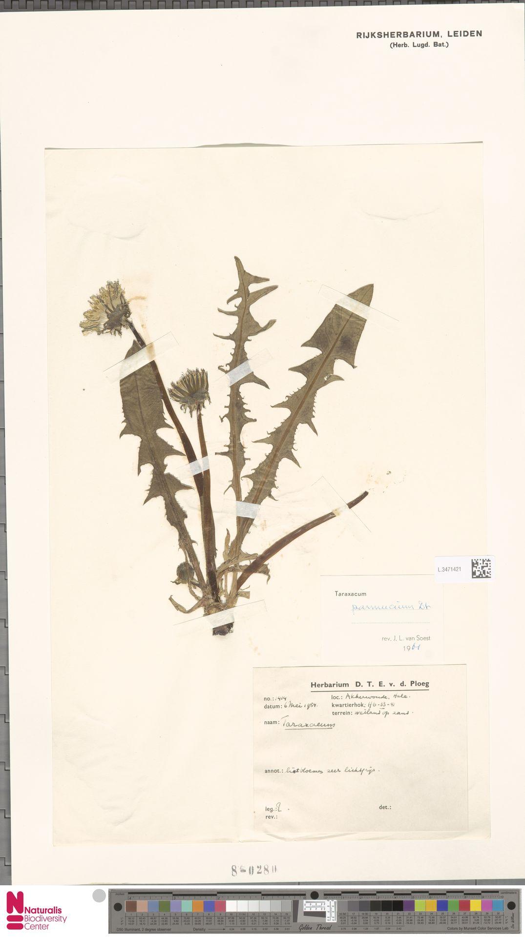 L.3471421   Taraxacum pannucium Dahlst.