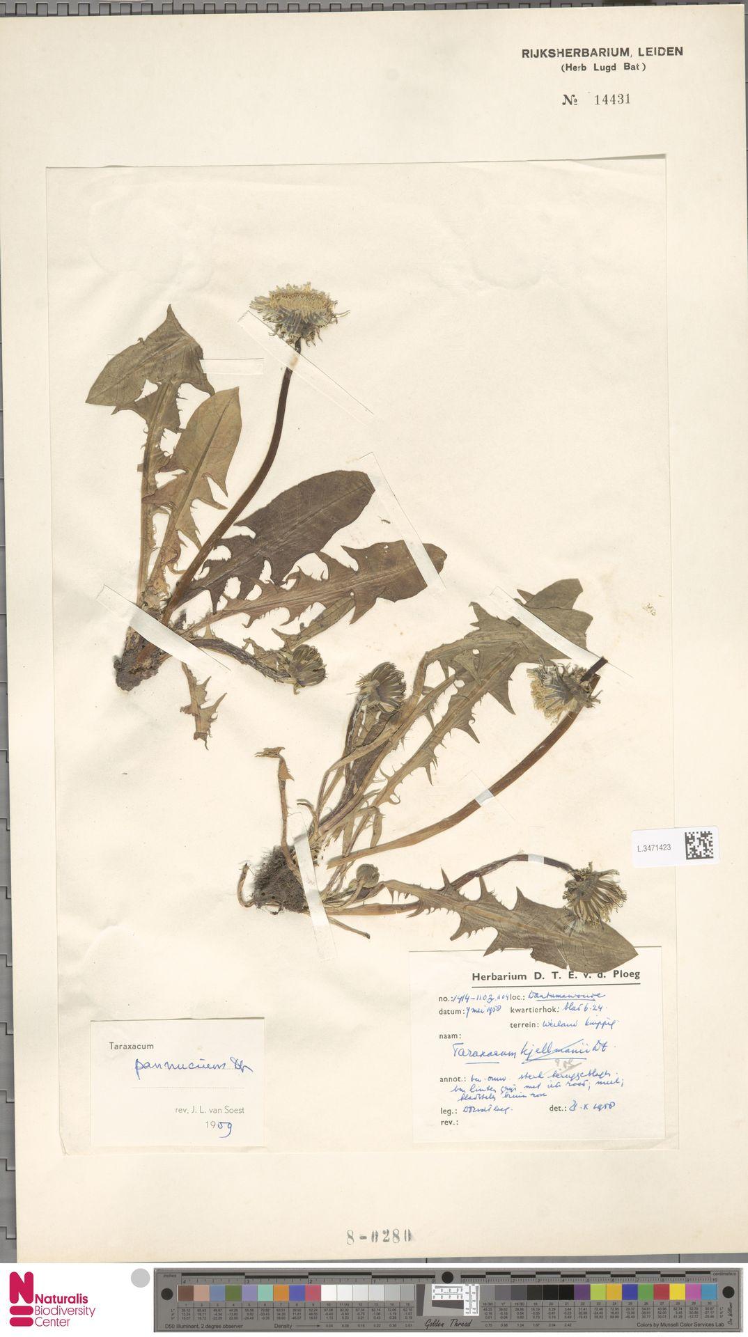 L.3471423 | Taraxacum pannucium Dahlst.
