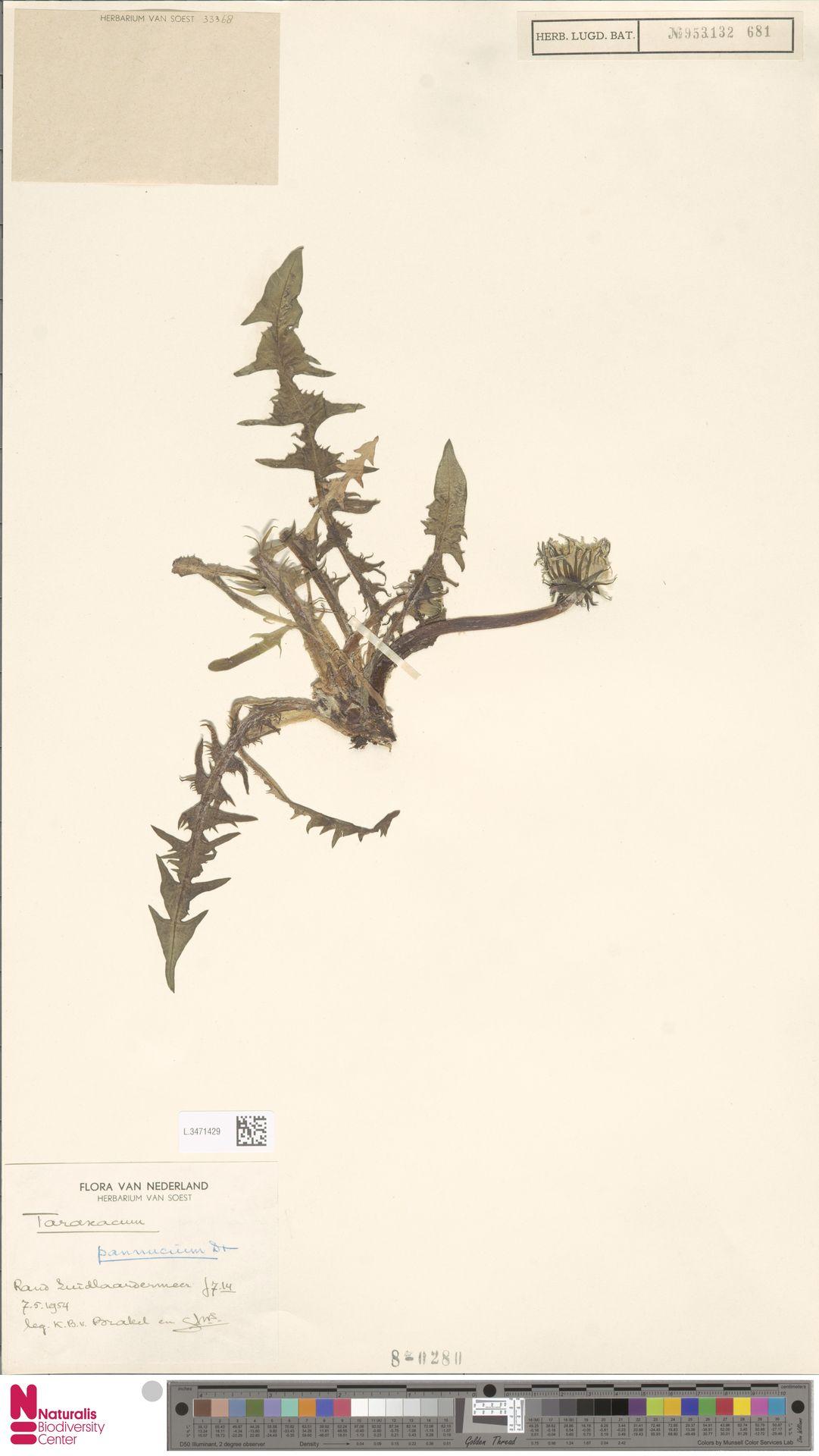 L.3471429 | Taraxacum pannucium Dahlst.