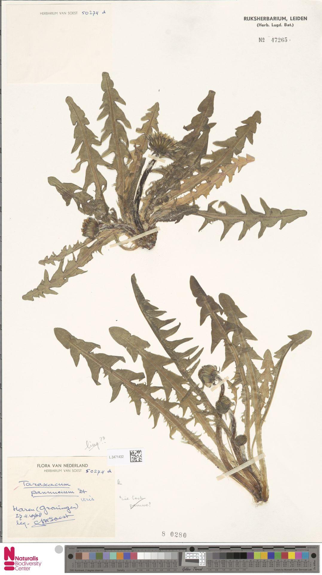 L.3471432 | Taraxacum pannucium Dahlst.