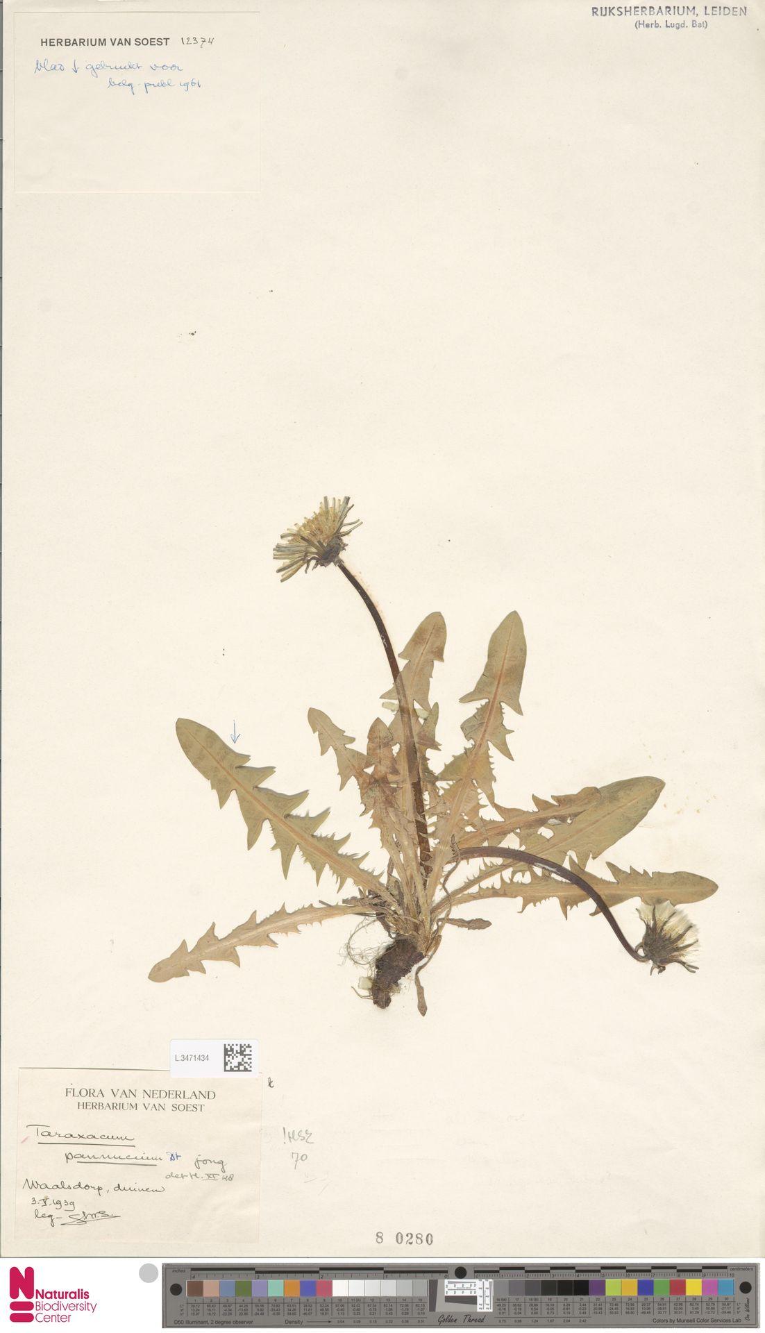 L.3471434   Taraxacum pannucium Dahlst.