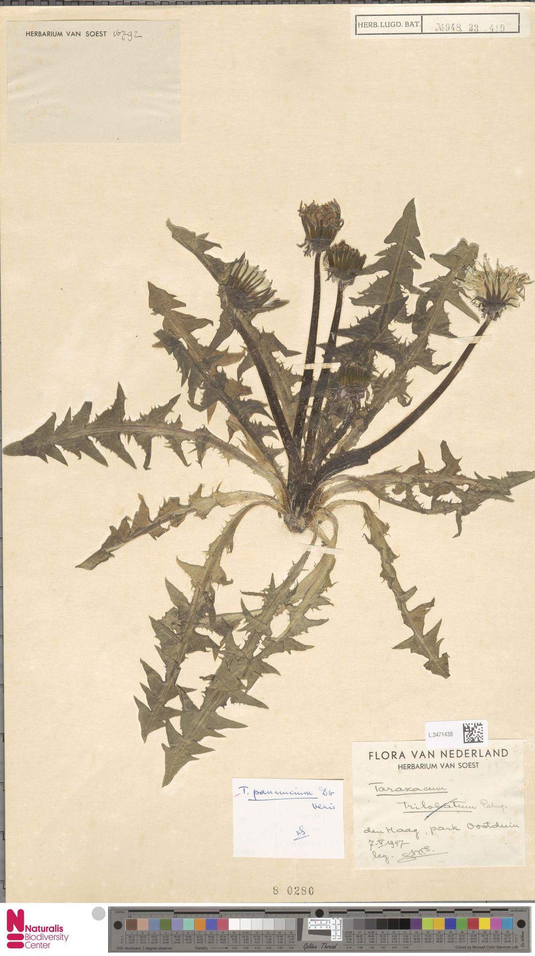 L.3471438 | Taraxacum pannucium Dahlst.