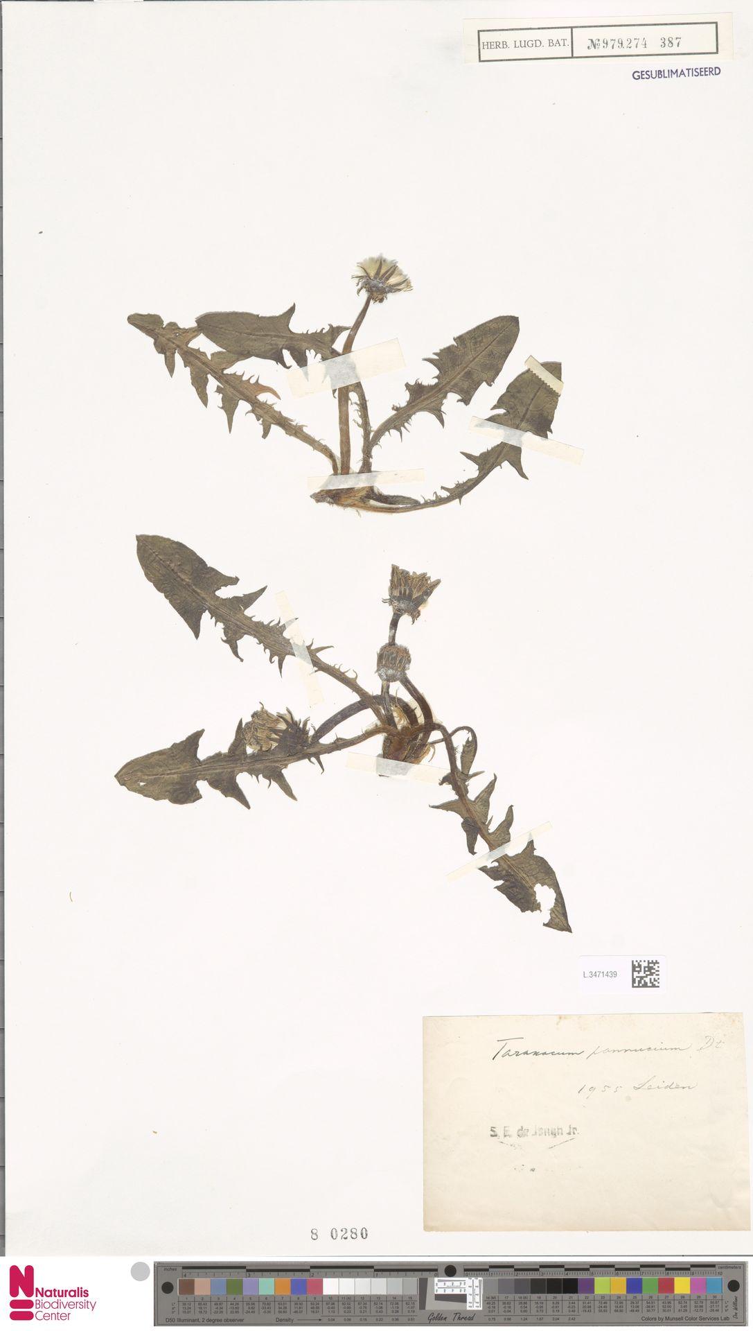 L.3471439 | Taraxacum pannucium Dahlst.