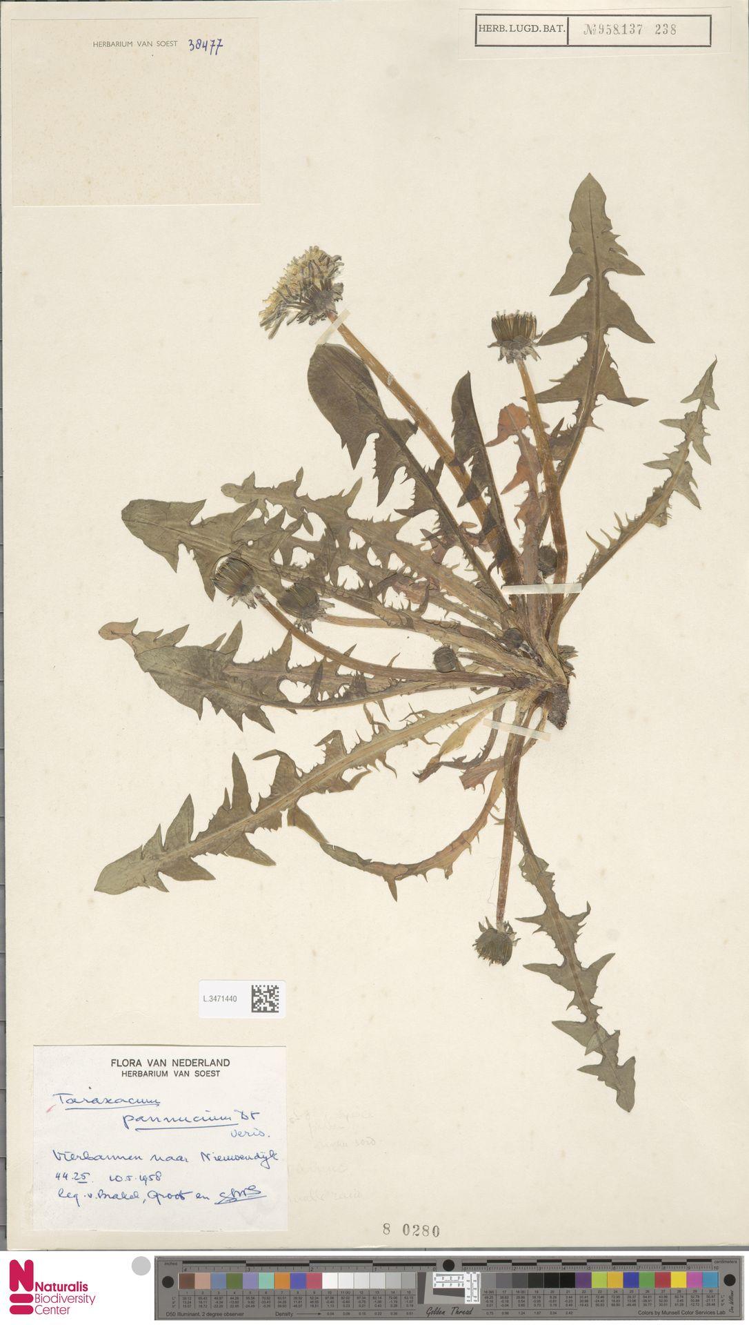 L.3471440   Taraxacum pannucium Dahlst.