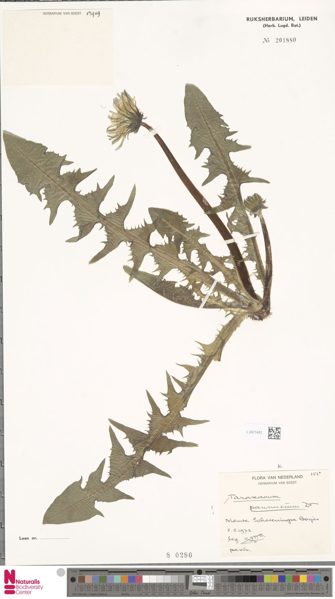 L.3471443 | Taraxacum pannucium Dahlst.