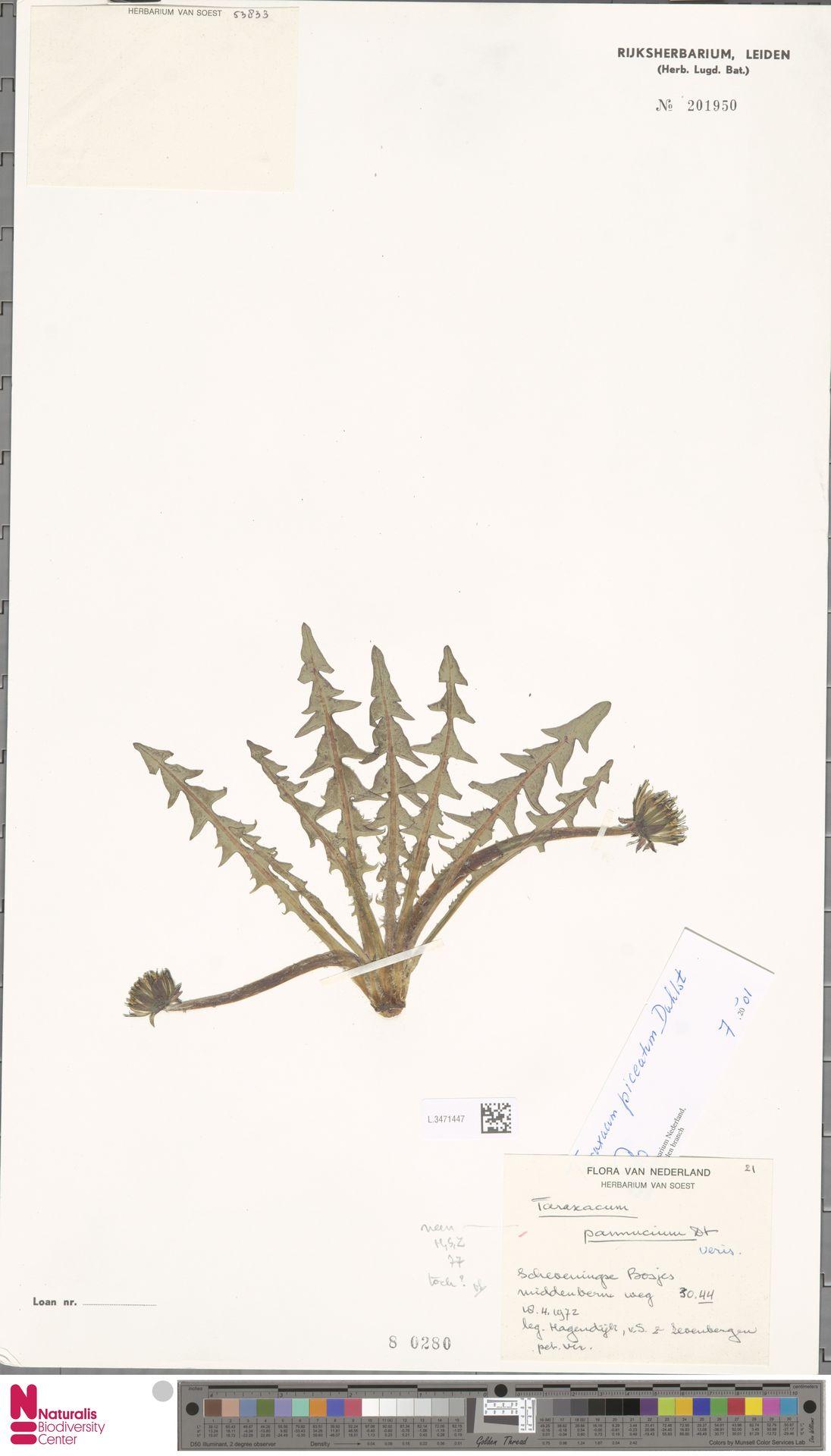 L.3471447 | Taraxacum pannucium Dahlst.