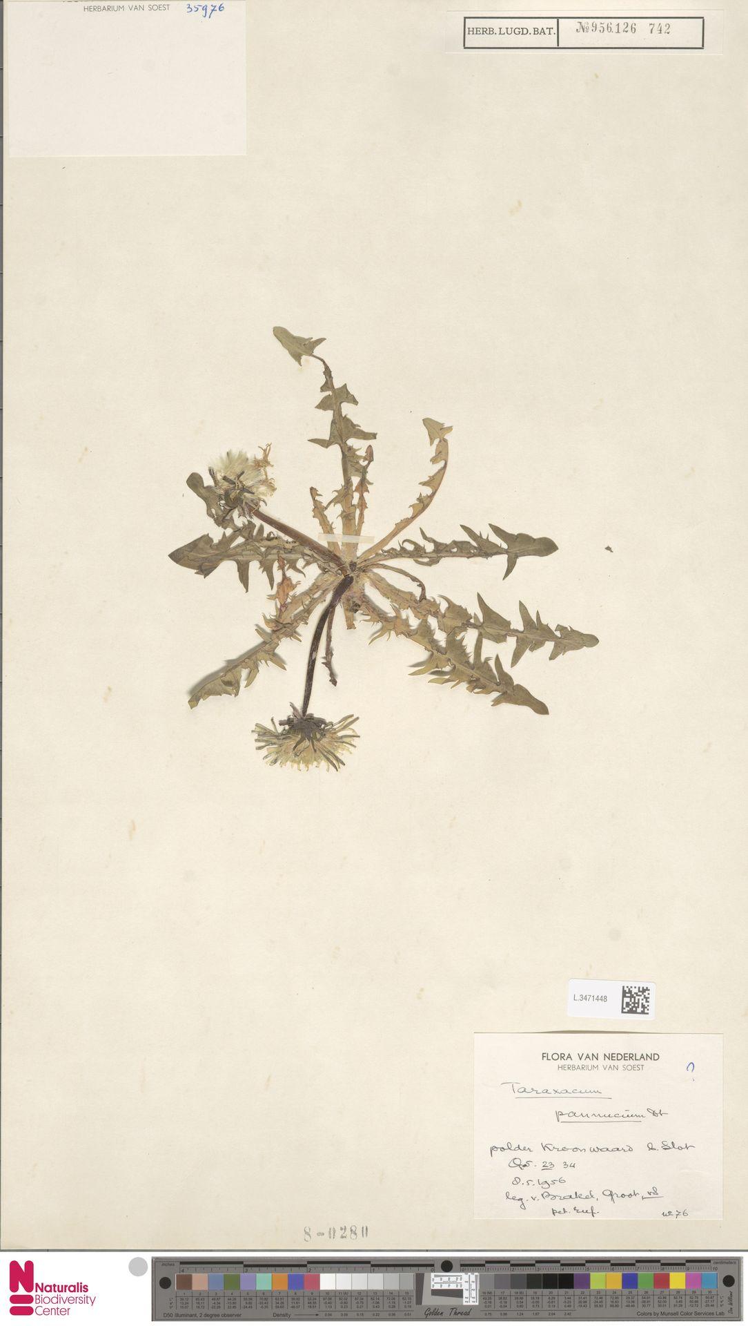 L.3471448 | Taraxacum pannucium Dahlst.