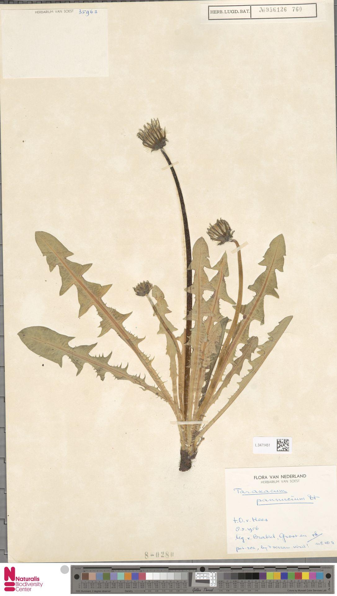 L.3471451   Taraxacum pannucium Dahlst.