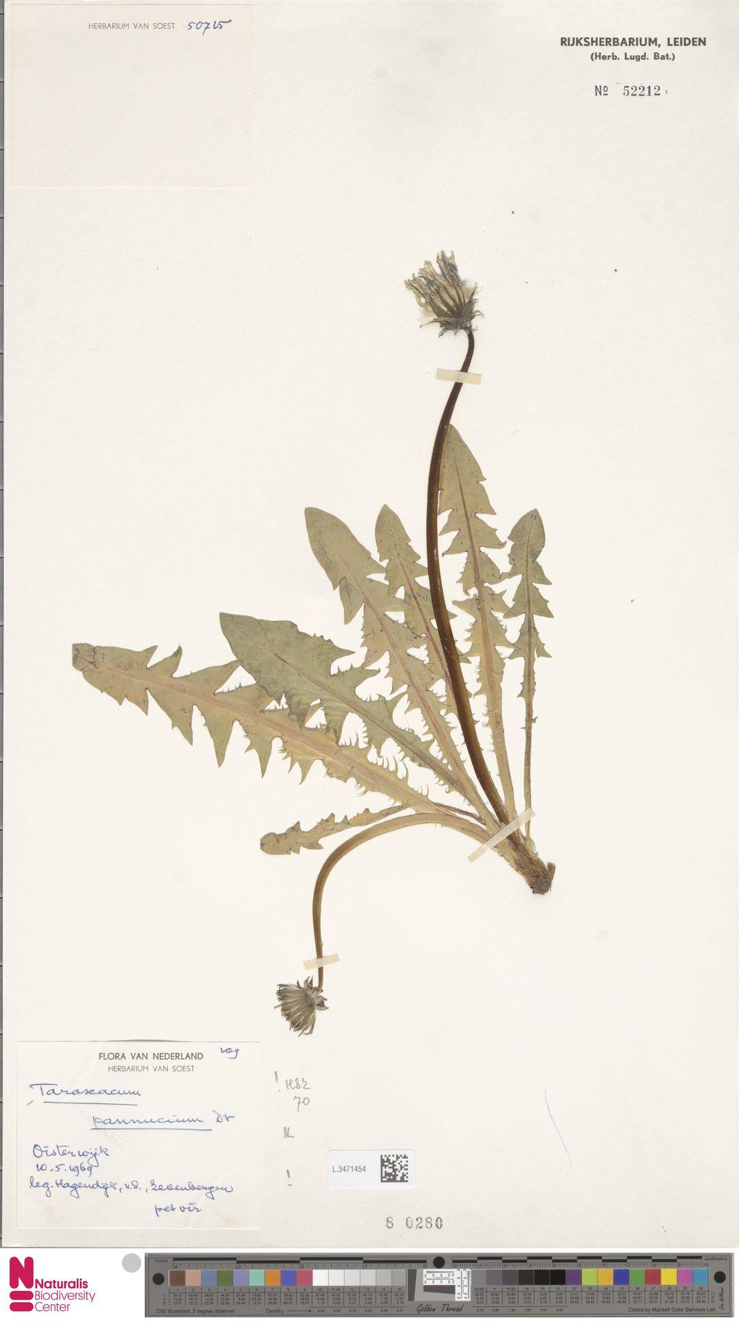 L.3471454   Taraxacum pannucium Dahlst.