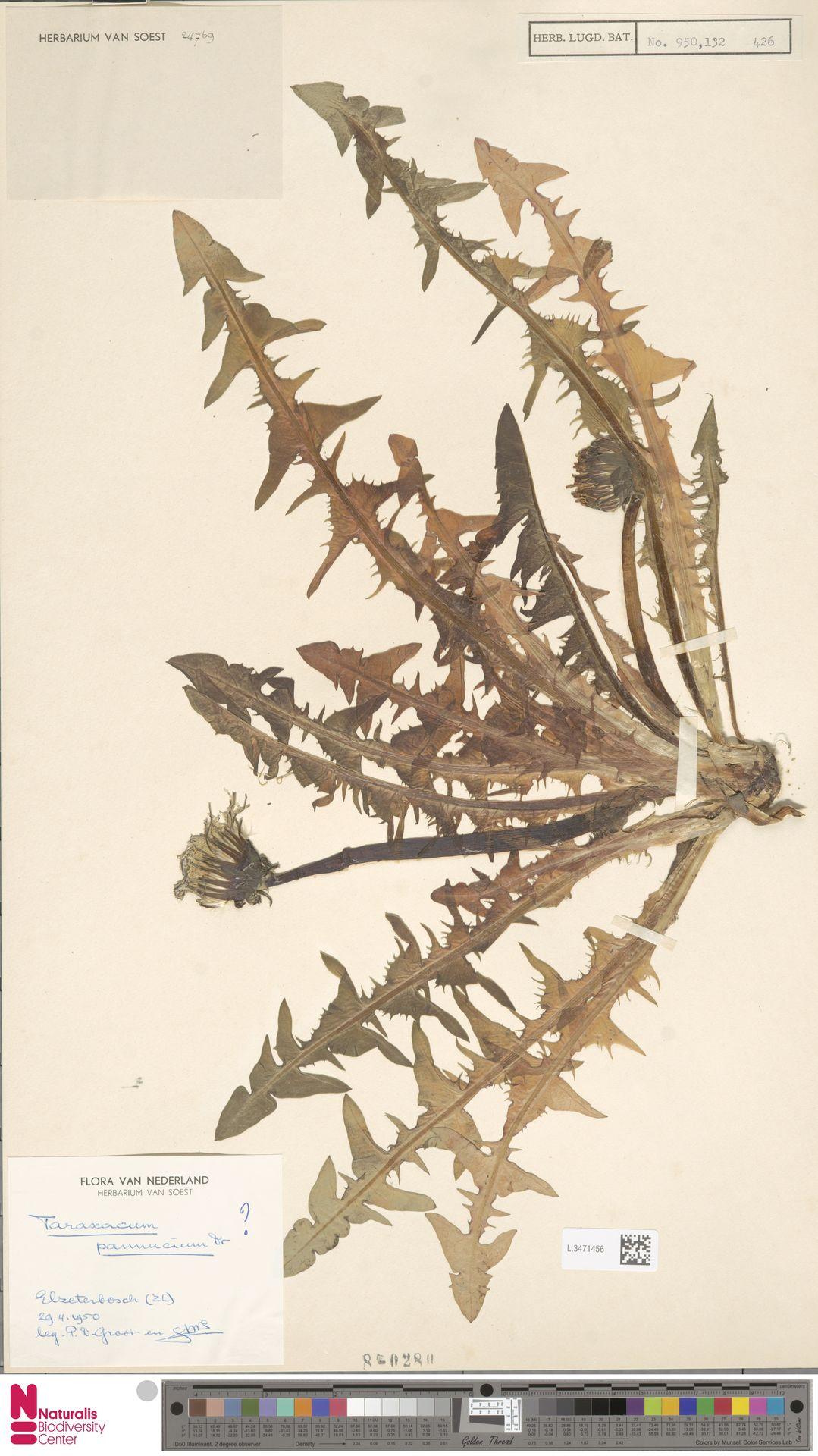 L.3471456 | Taraxacum pannucium Dahlst.