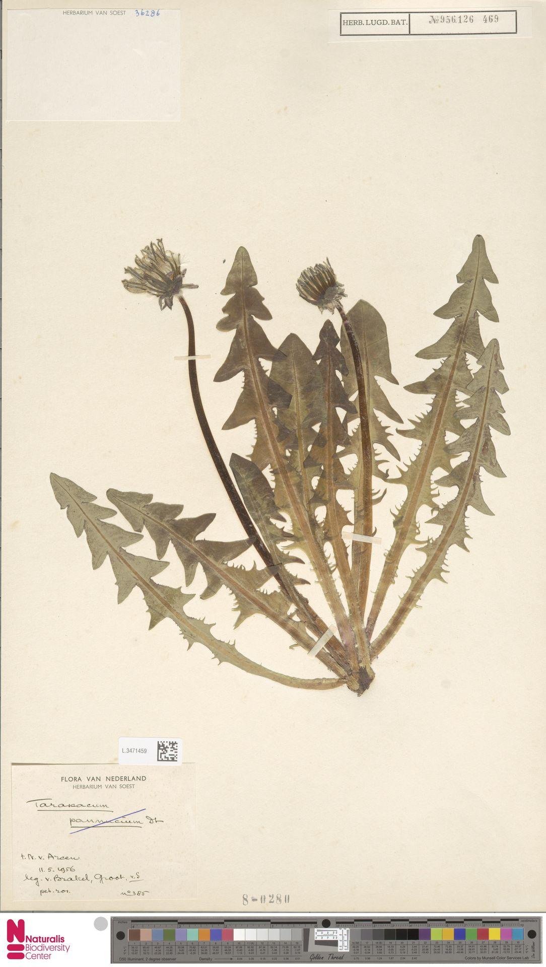 L.3471459 | Taraxacum pannucium Dahlst.