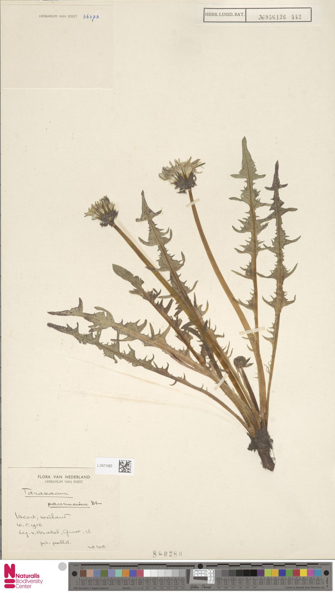 L.3471462   Taraxacum pannucium Dahlst.