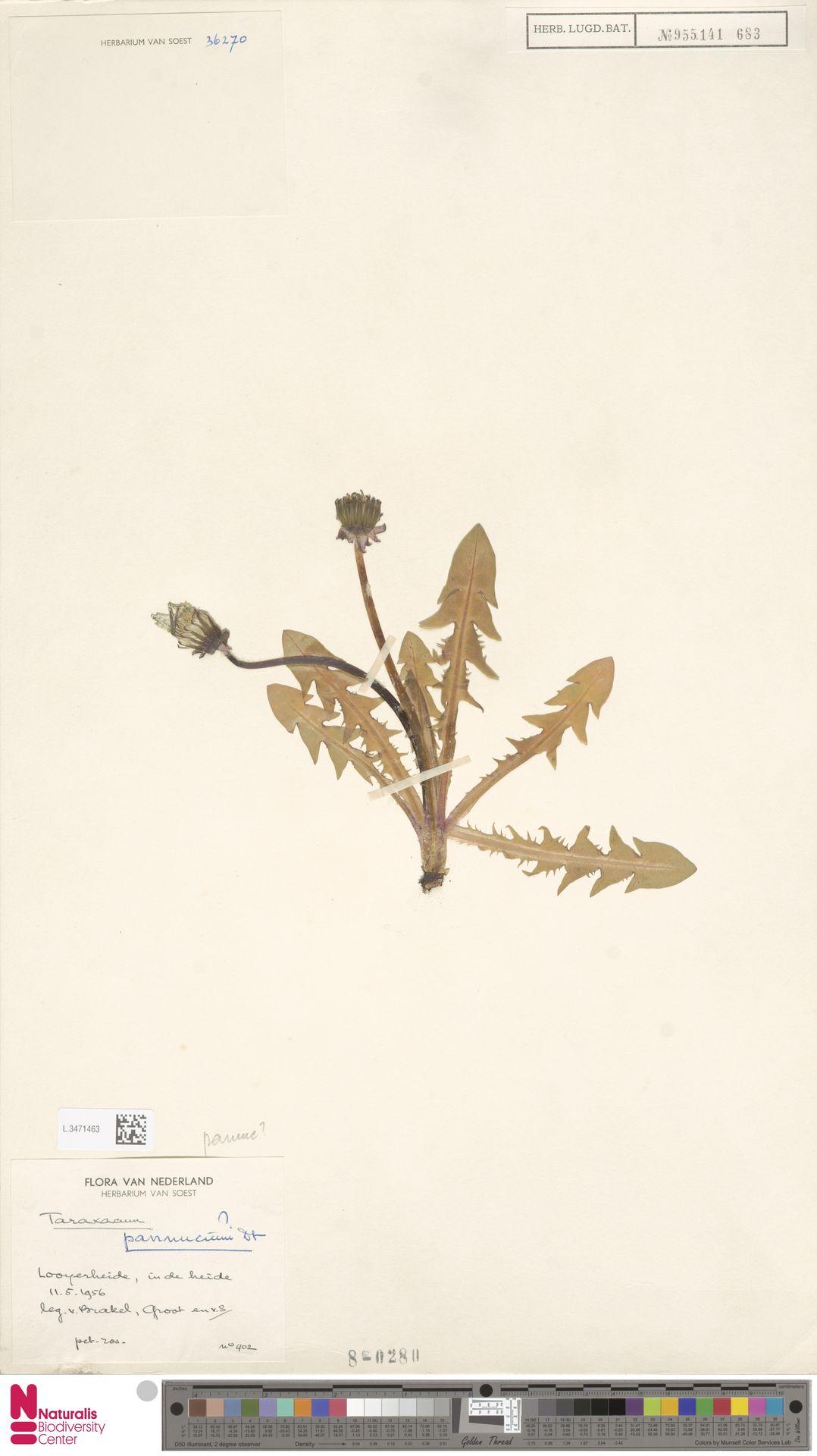 L.3471463   Taraxacum pannucium Dahlst.