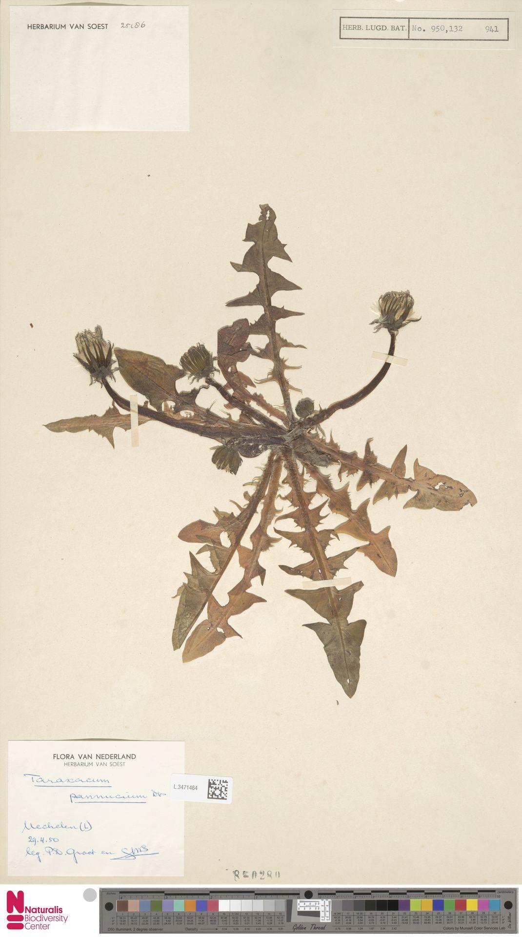 L.3471464   Taraxacum pannucium Dahlst.