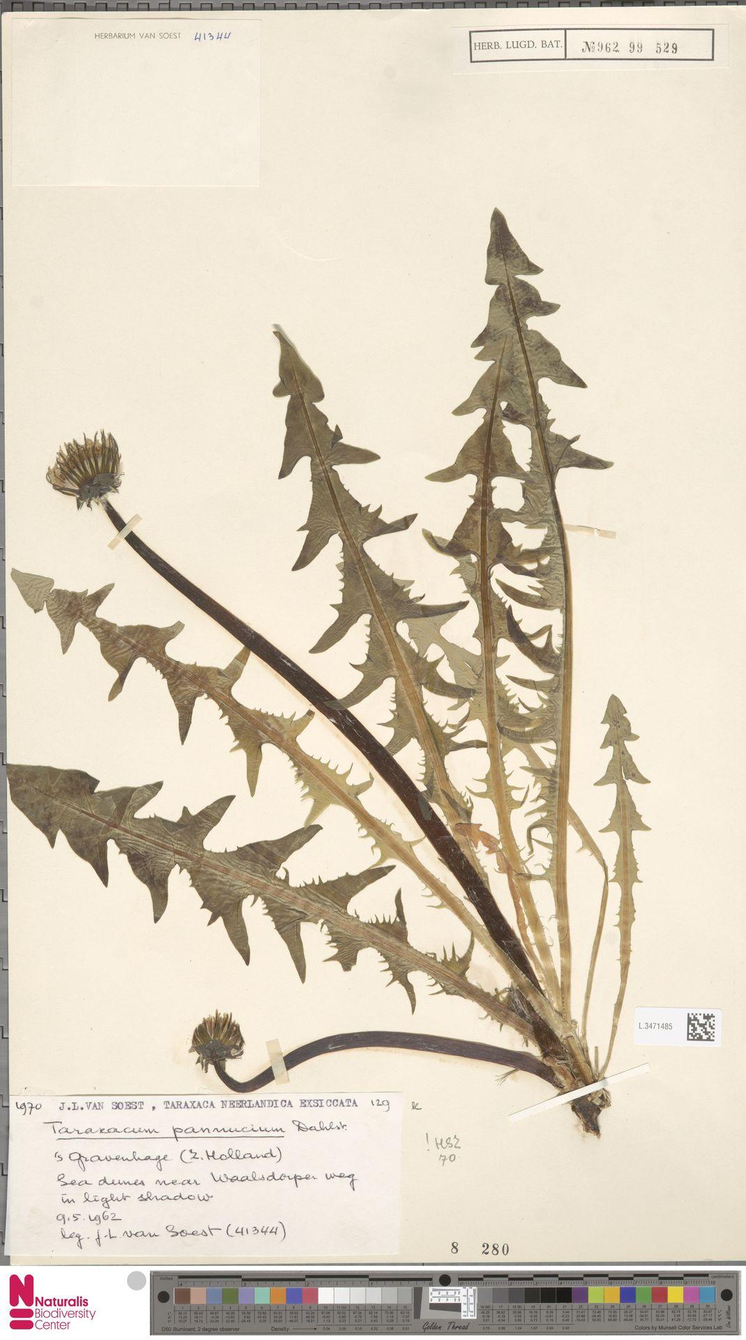 L.3471485 | Taraxacum pannucium Dahlst.