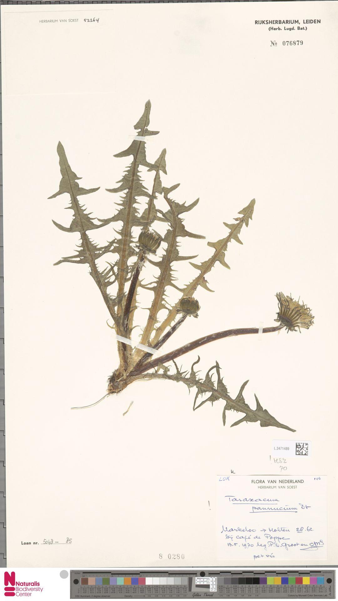 L.3471489 | Taraxacum pannucium Dahlst.
