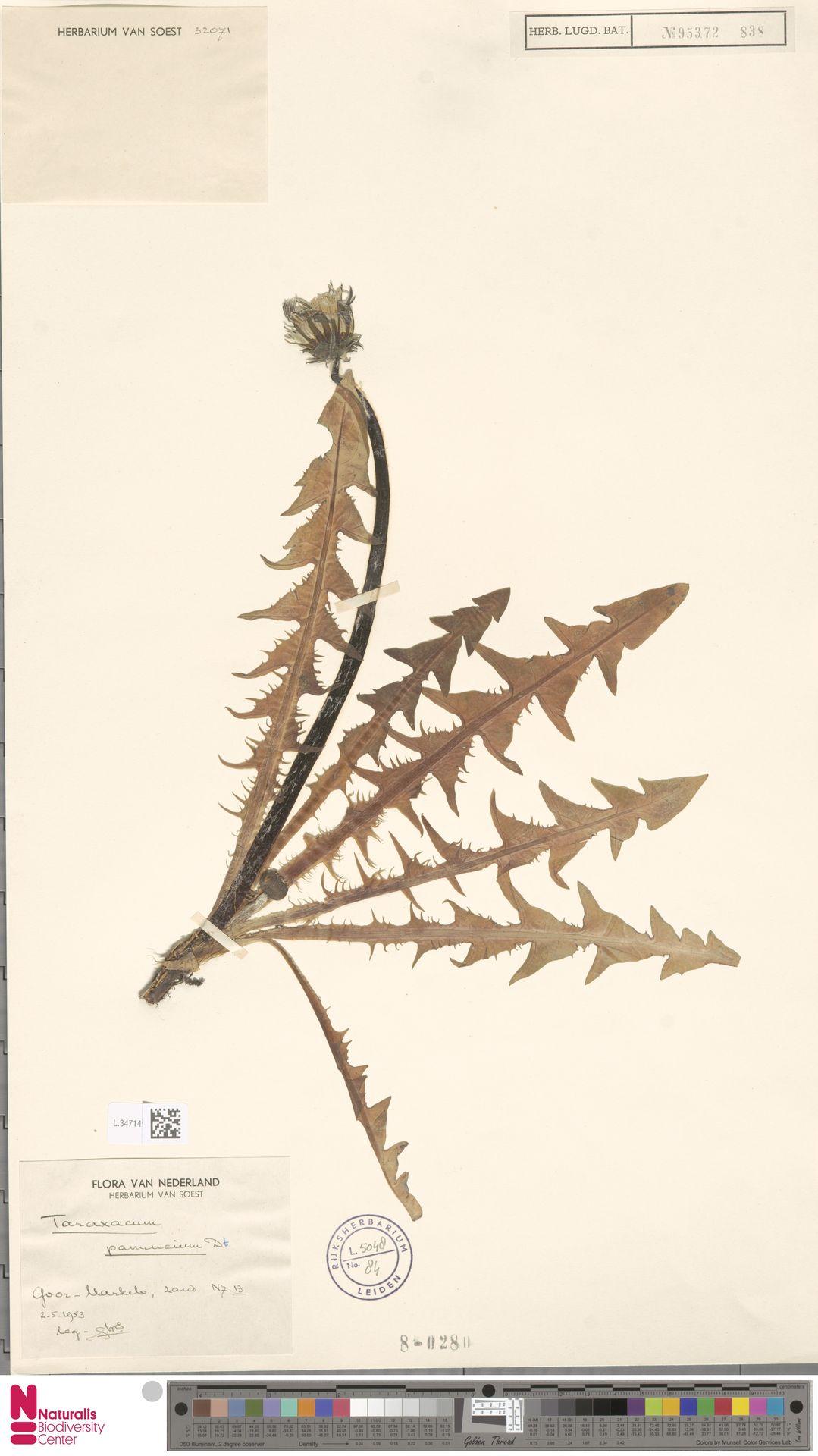 L.3471490   Taraxacum pannucium Dahlst.