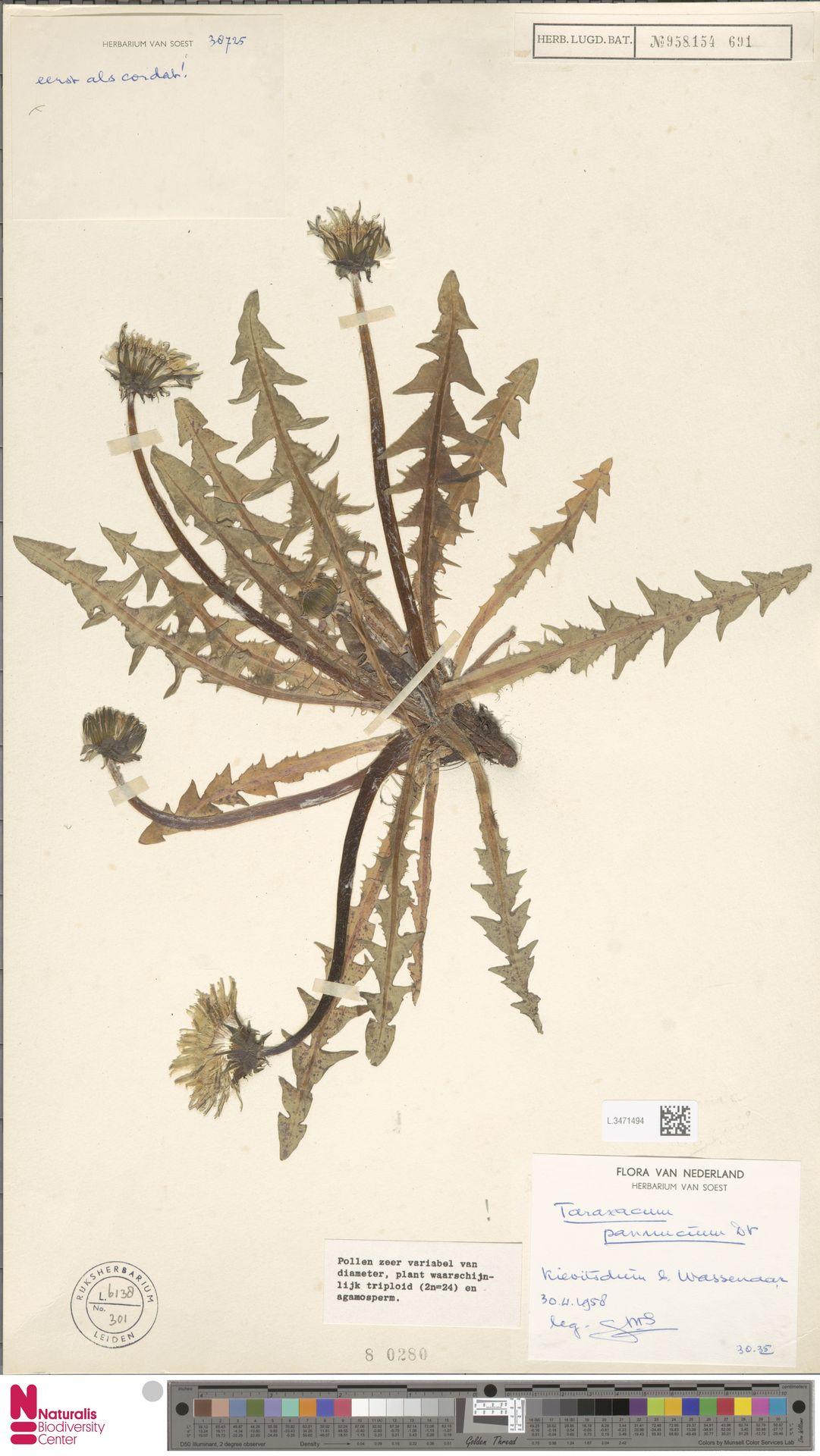 L.3471494   Taraxacum pannucium Dahlst.