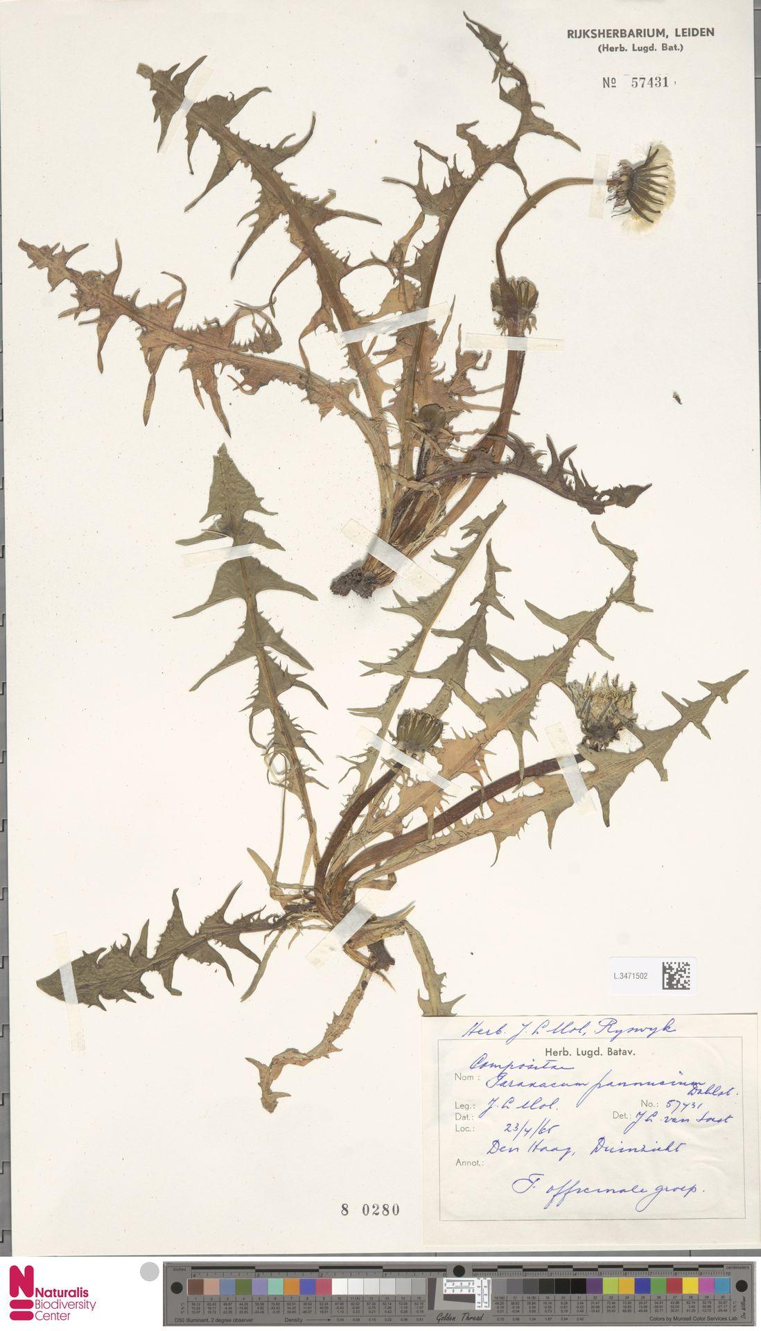 L.3471502   Taraxacum pannucium Dahlst.