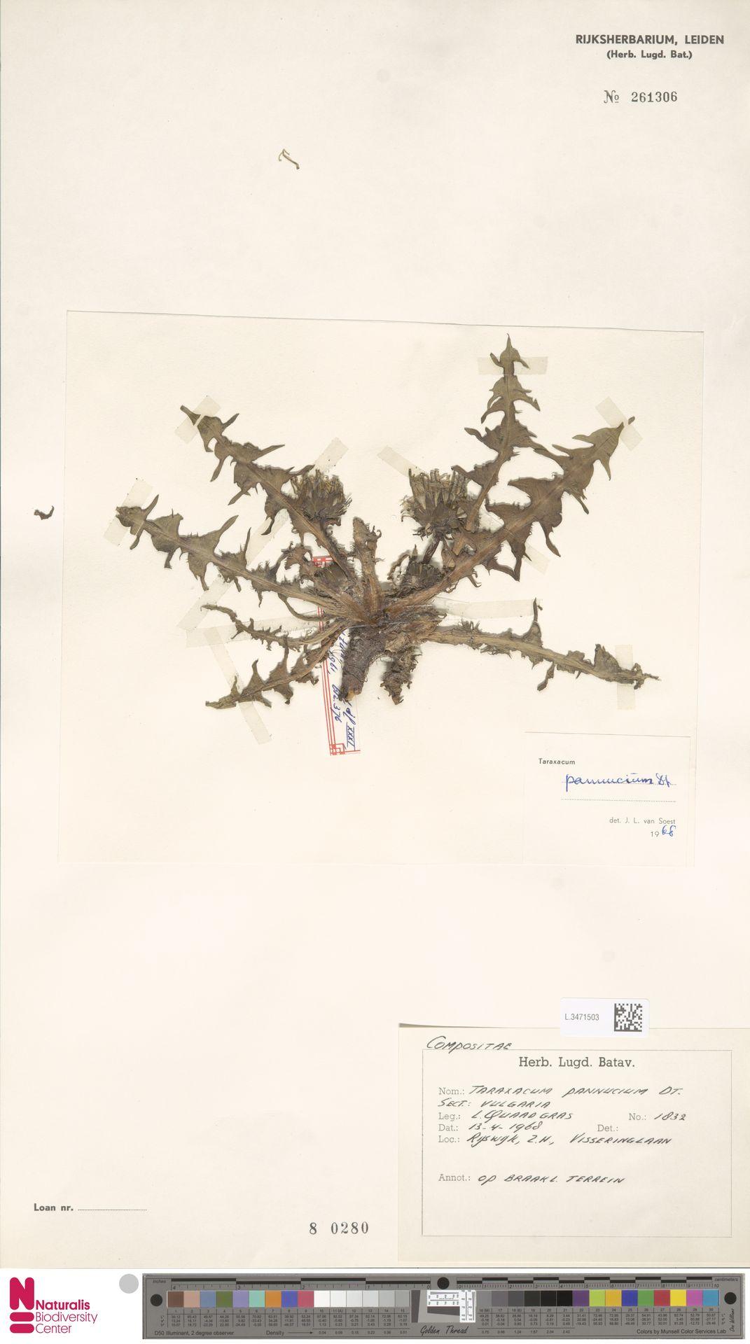 L.3471503   Taraxacum pannucium Dahlst.