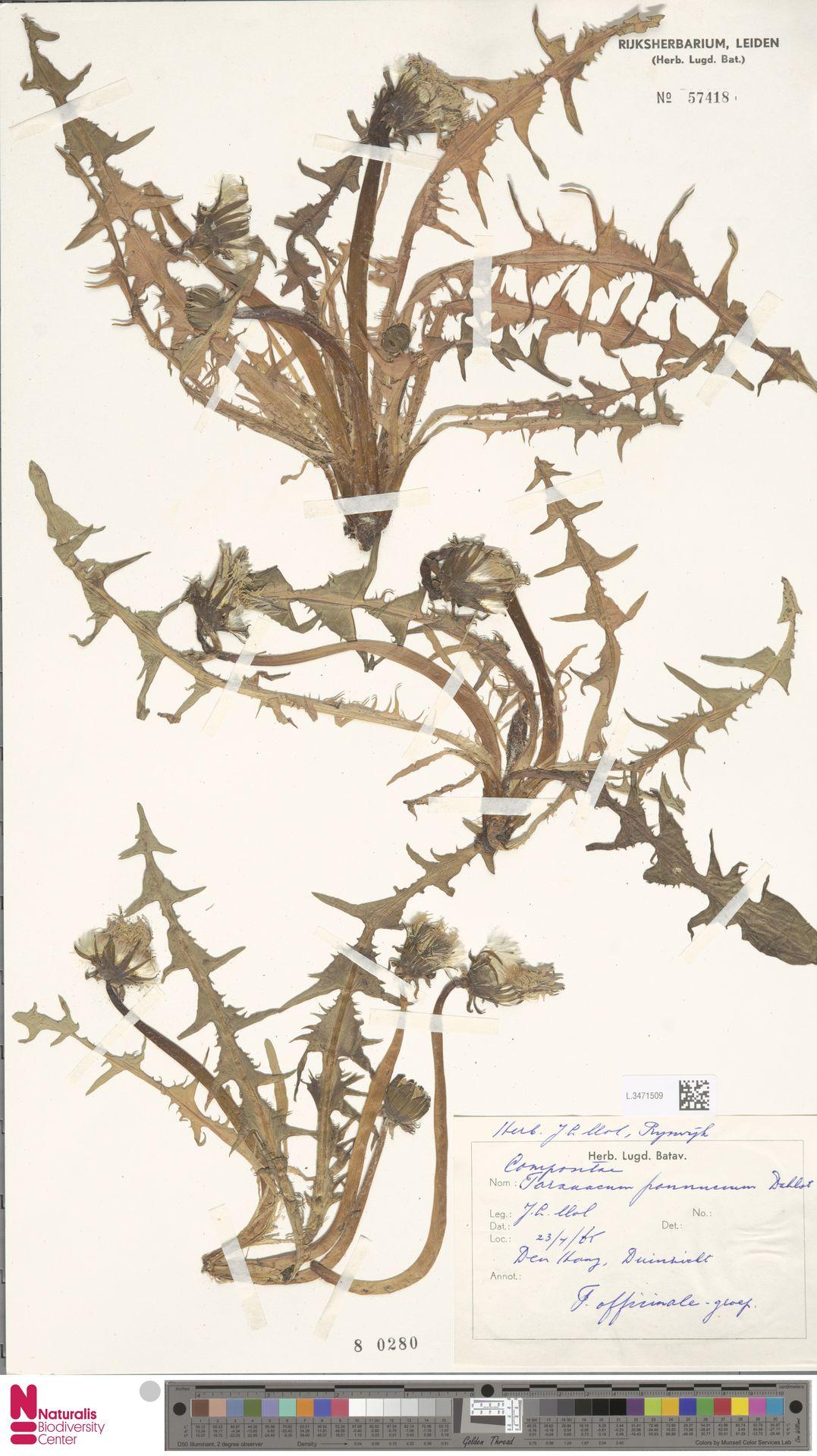 L.3471509 | Taraxacum pannucium Dahlst.