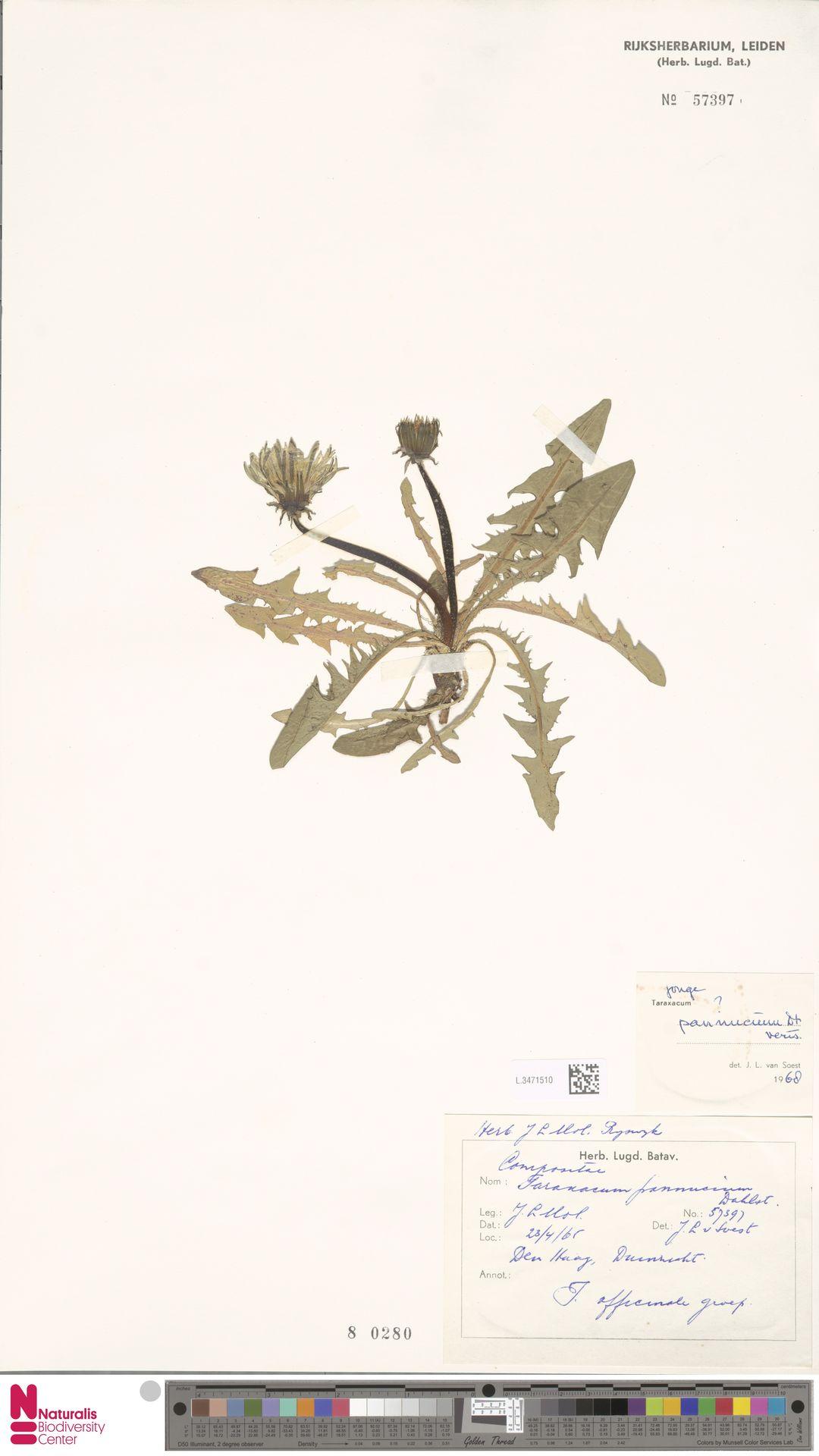 L.3471510 | Taraxacum pannucium Dahlst.