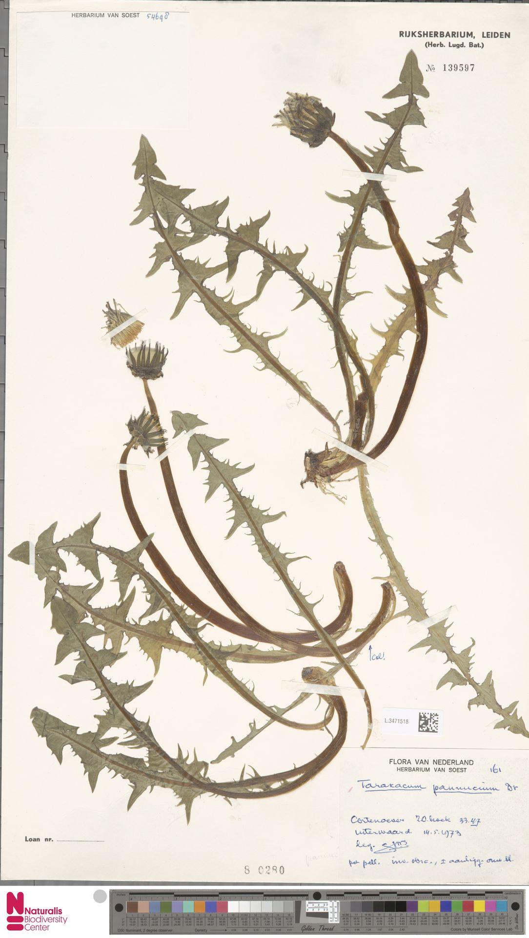 L.3471518 | Taraxacum pannucium Dahlst.