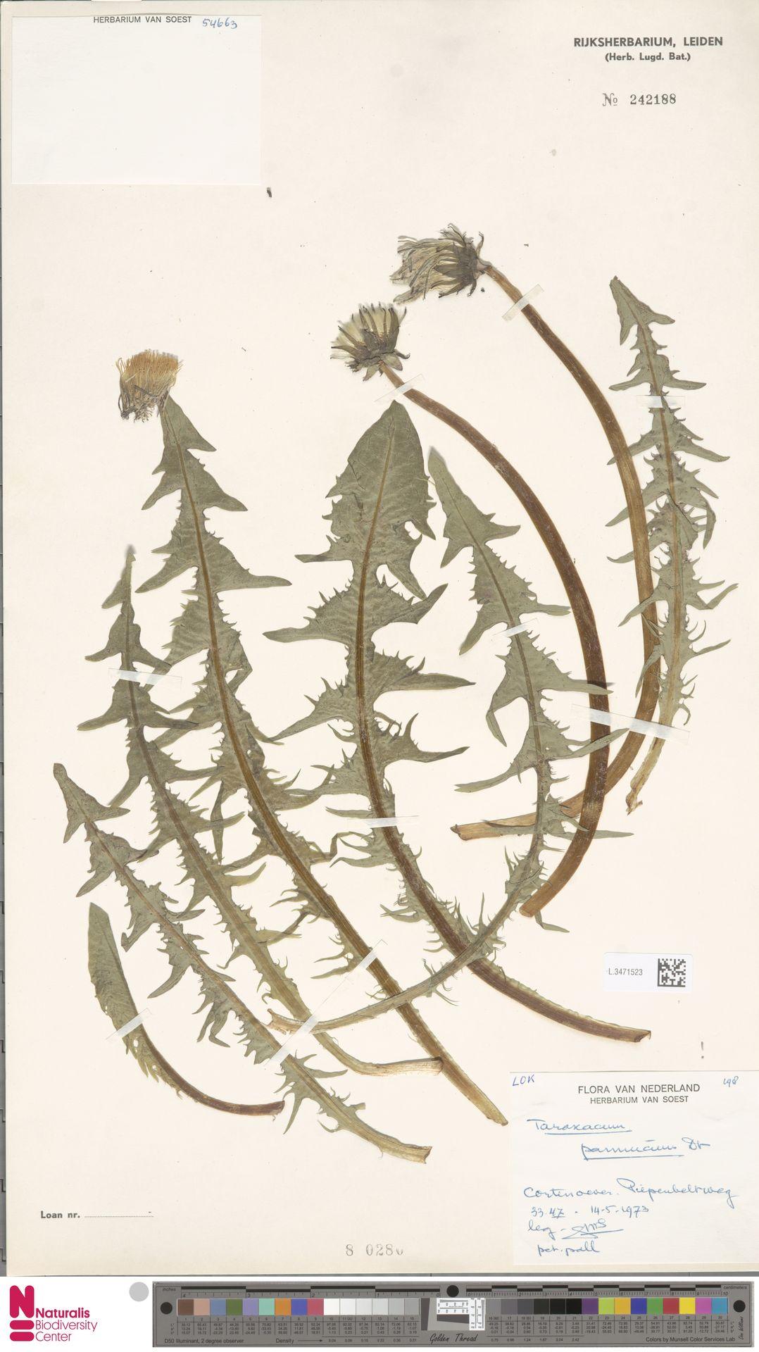 L.3471523   Taraxacum pannucium Dahlst.