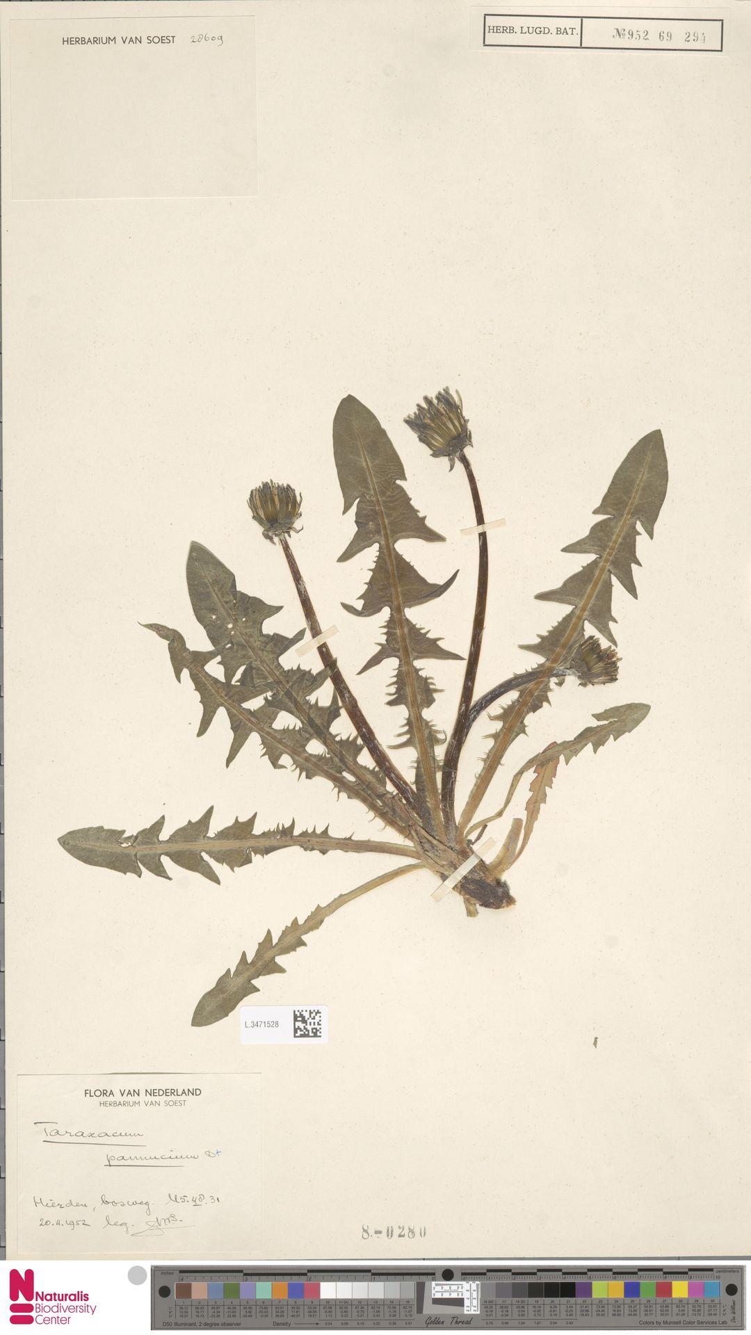 L.3471528 | Taraxacum pannucium Dahlst.