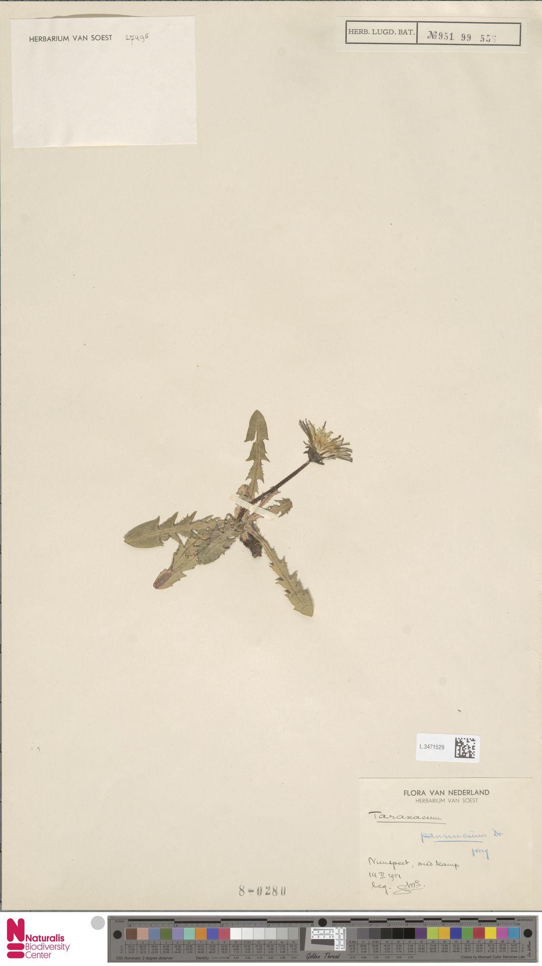 L.3471529 | Taraxacum pannucium Dahlst.