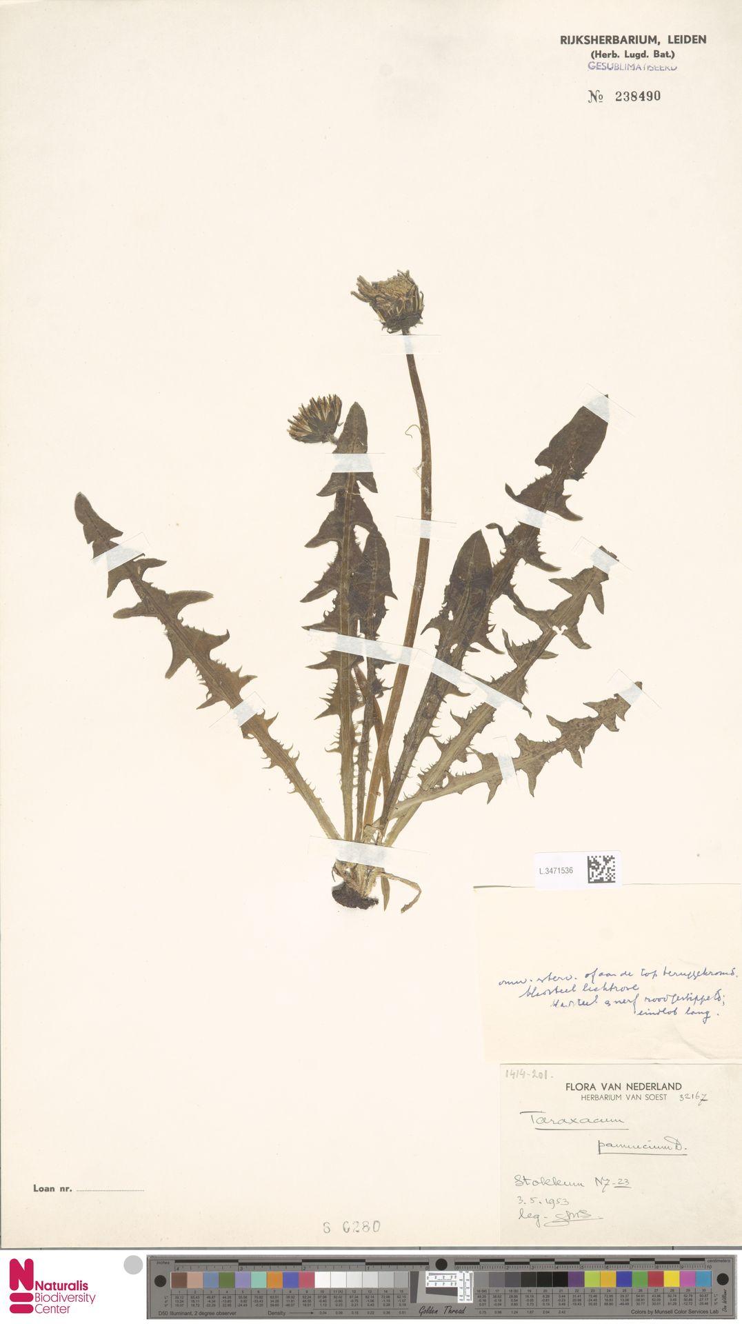 L.3471536 | Taraxacum pannucium Dahlst.