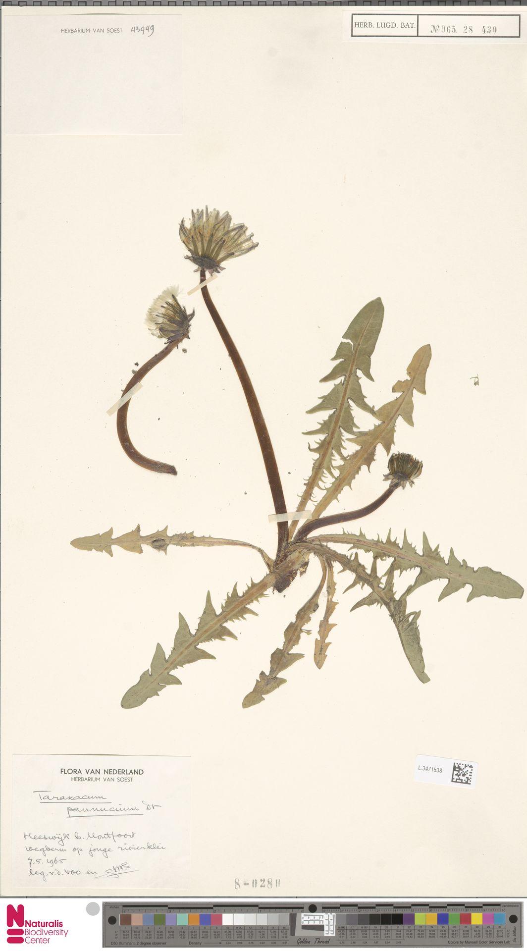 L.3471538   Taraxacum pannucium Dahlst.